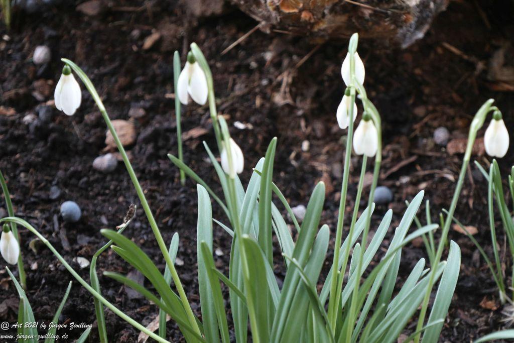 Krokusse und Schneeglöckchen (Galanthus)
