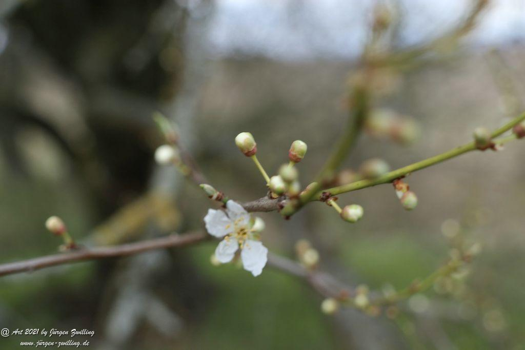 Blütenstart der Mirabellen - Mainz Finthen - Rheinhessen
