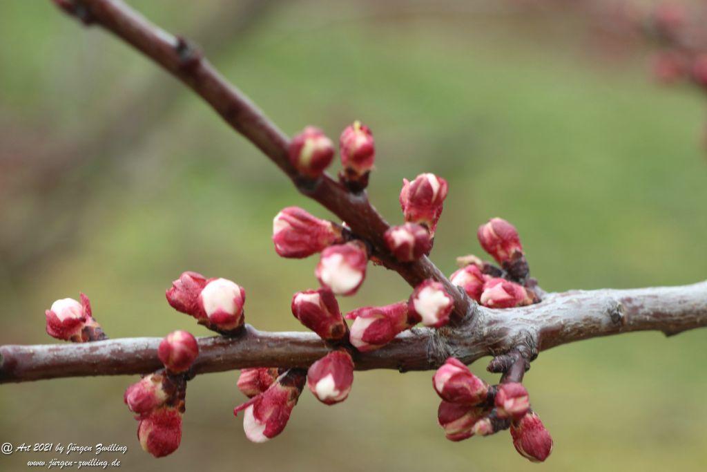 Blütenstart der Aprikosen - Mainz Finthen - Rheinhessen