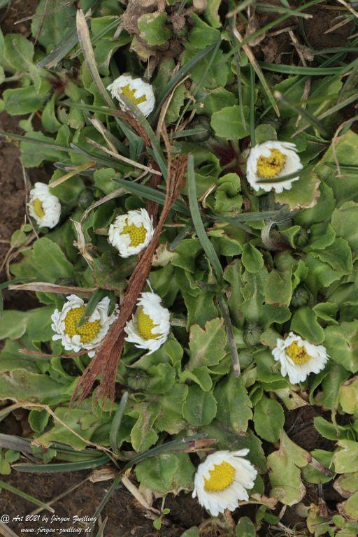 Die ersten Gänseblümchen (Bellis perennis) - Mainz Finthen Rheinhessen