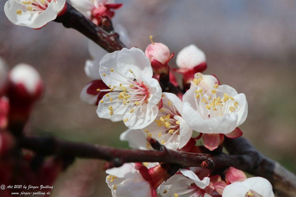 Aprikosenblüte - Mainz Finthen - Rheinhessen