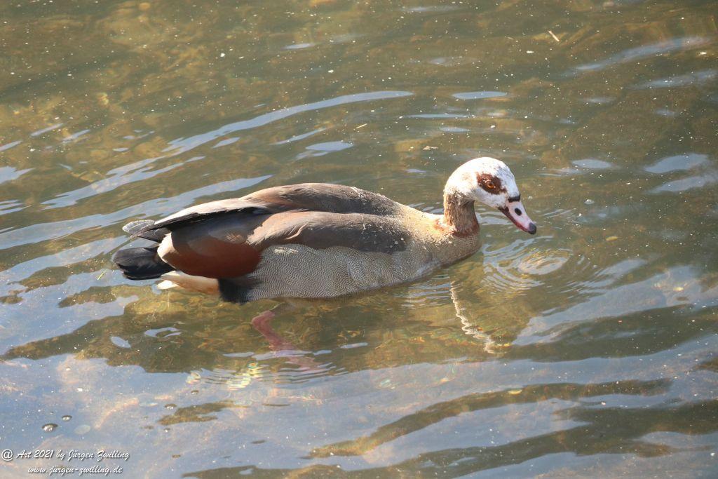 Ente an der Nahe - Bad Kreuznach - Rheinhessen