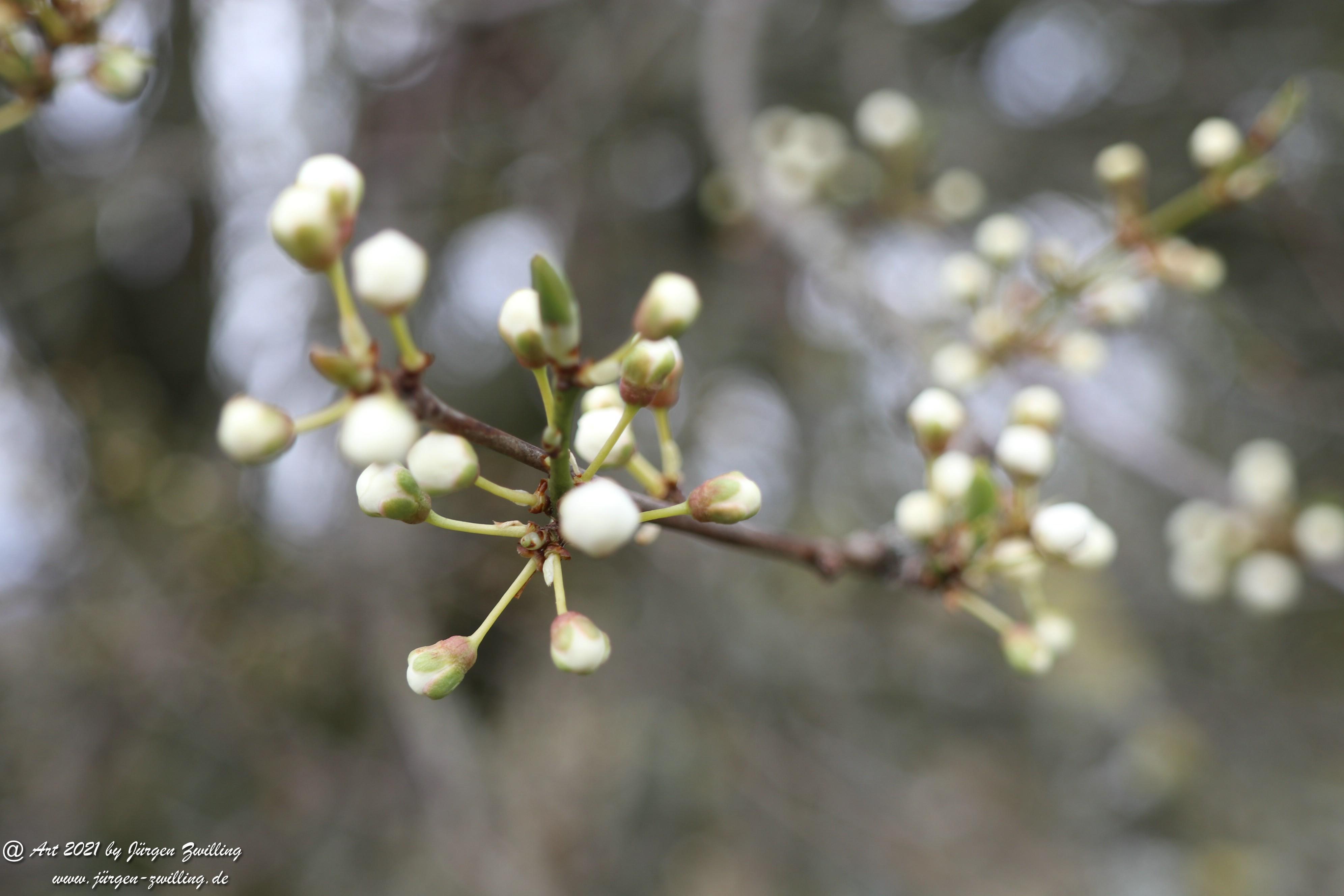 Blütenstart der Mirabellen 2