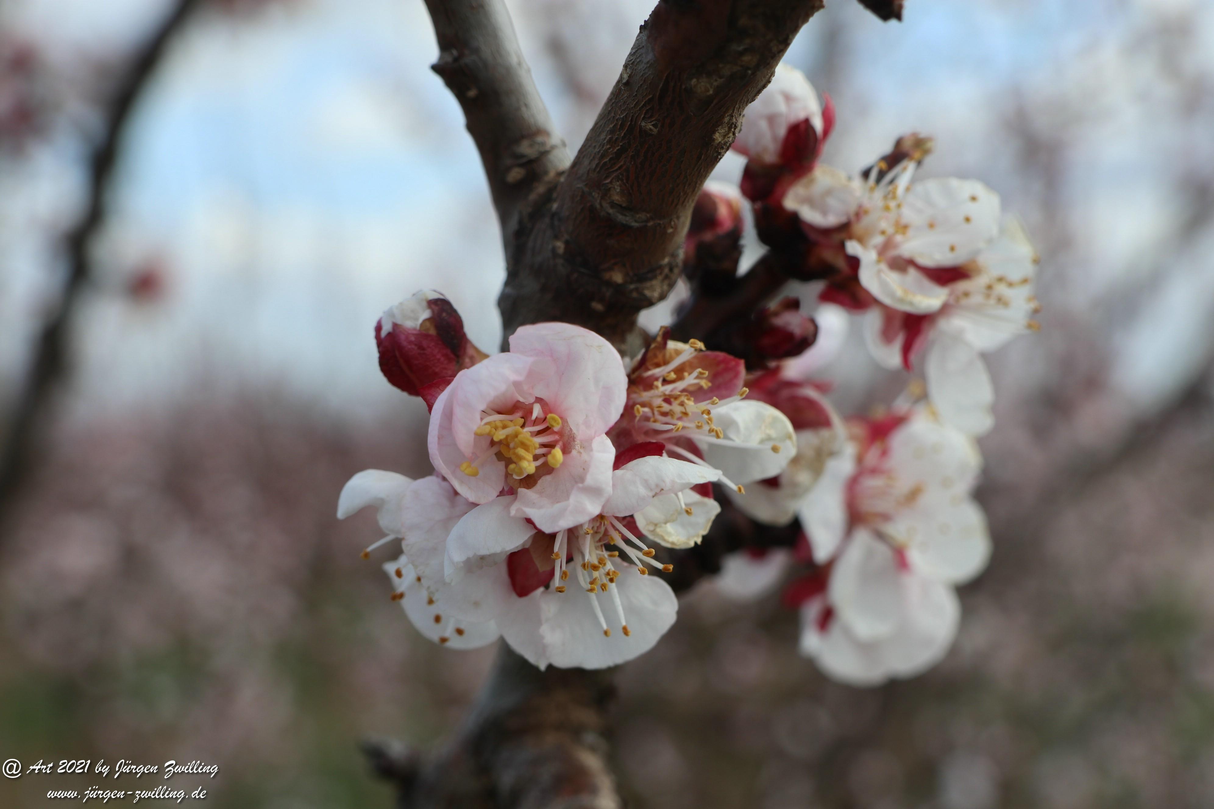 Aprikosenblüte 1