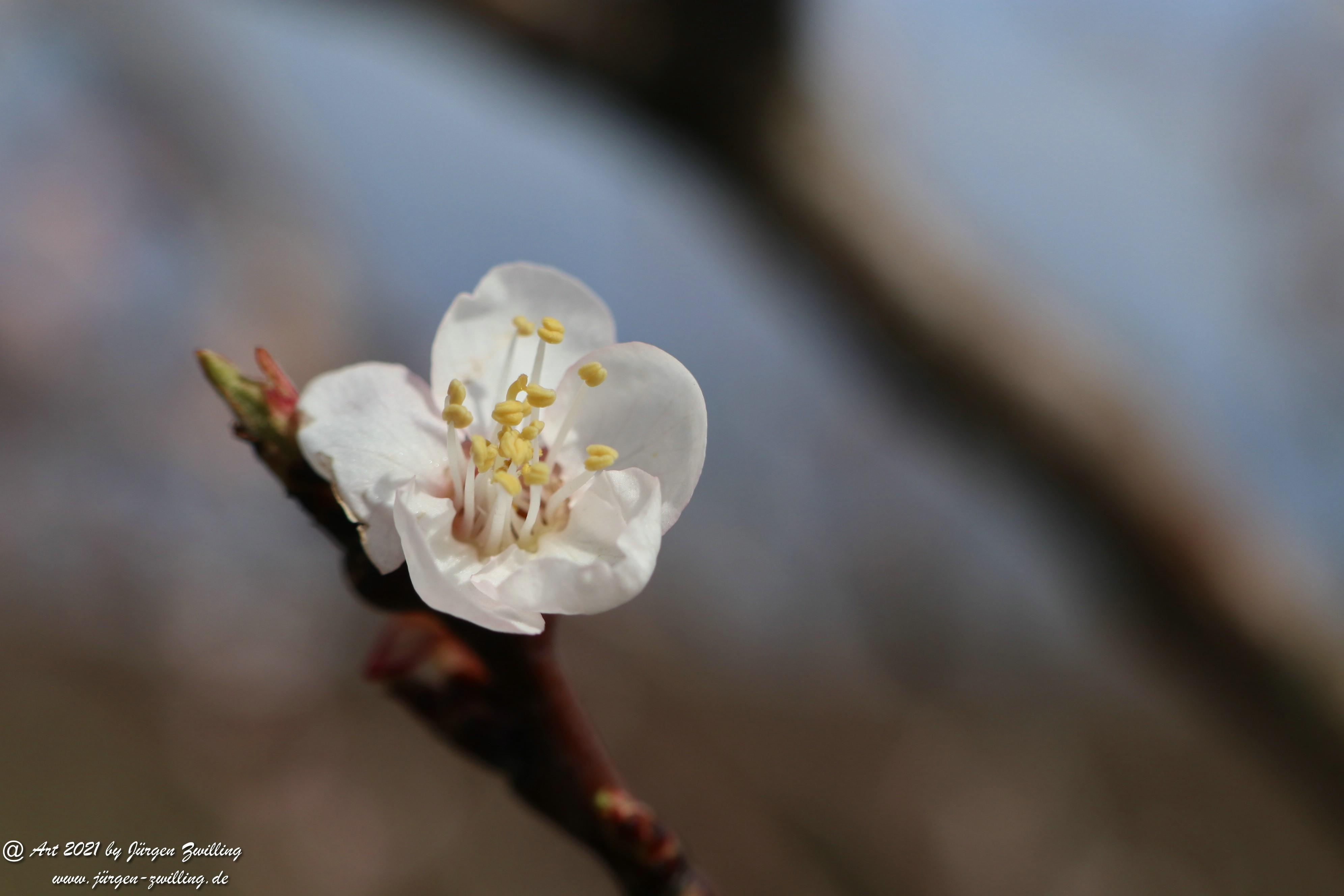 Aprikosenblüte 3