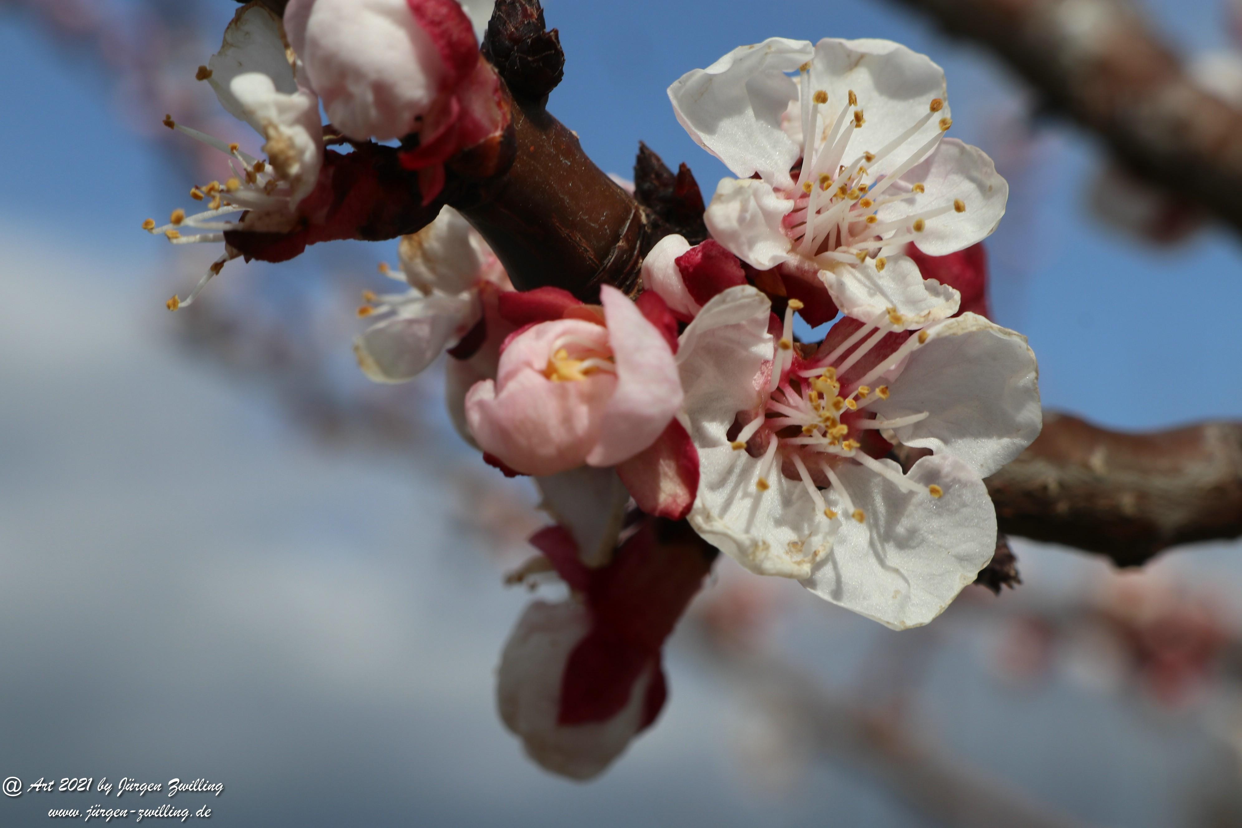 Aprikosenblüte 4