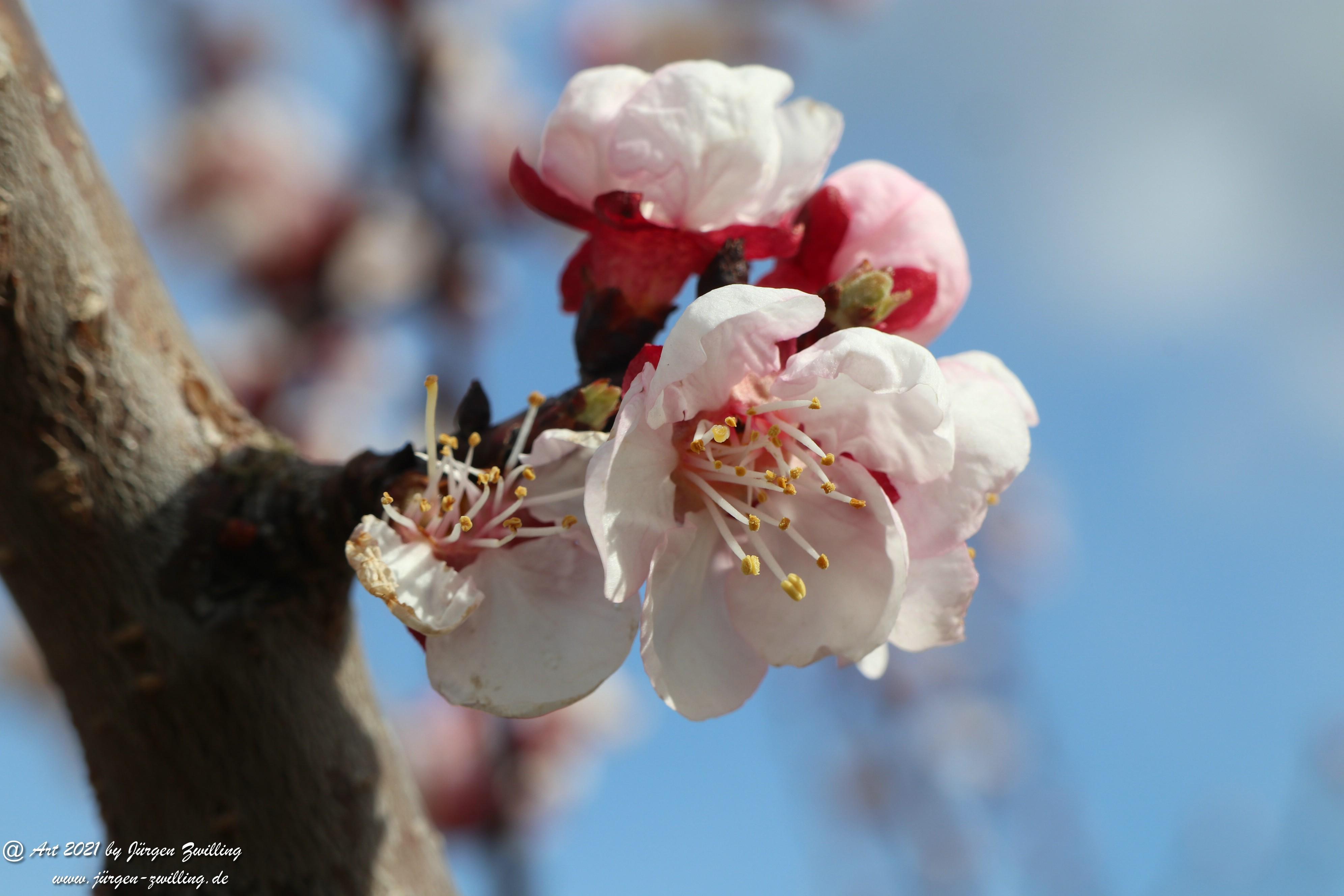 Aprikosenblüte 5