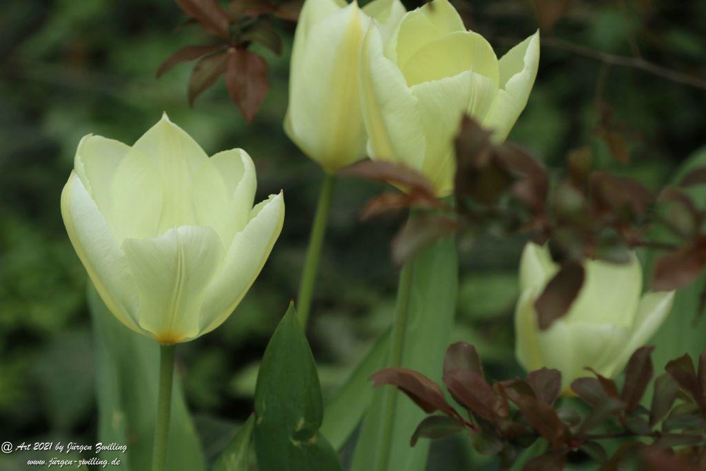 Tulpen - Rosengarten - Mainz  - Rheinhessen
