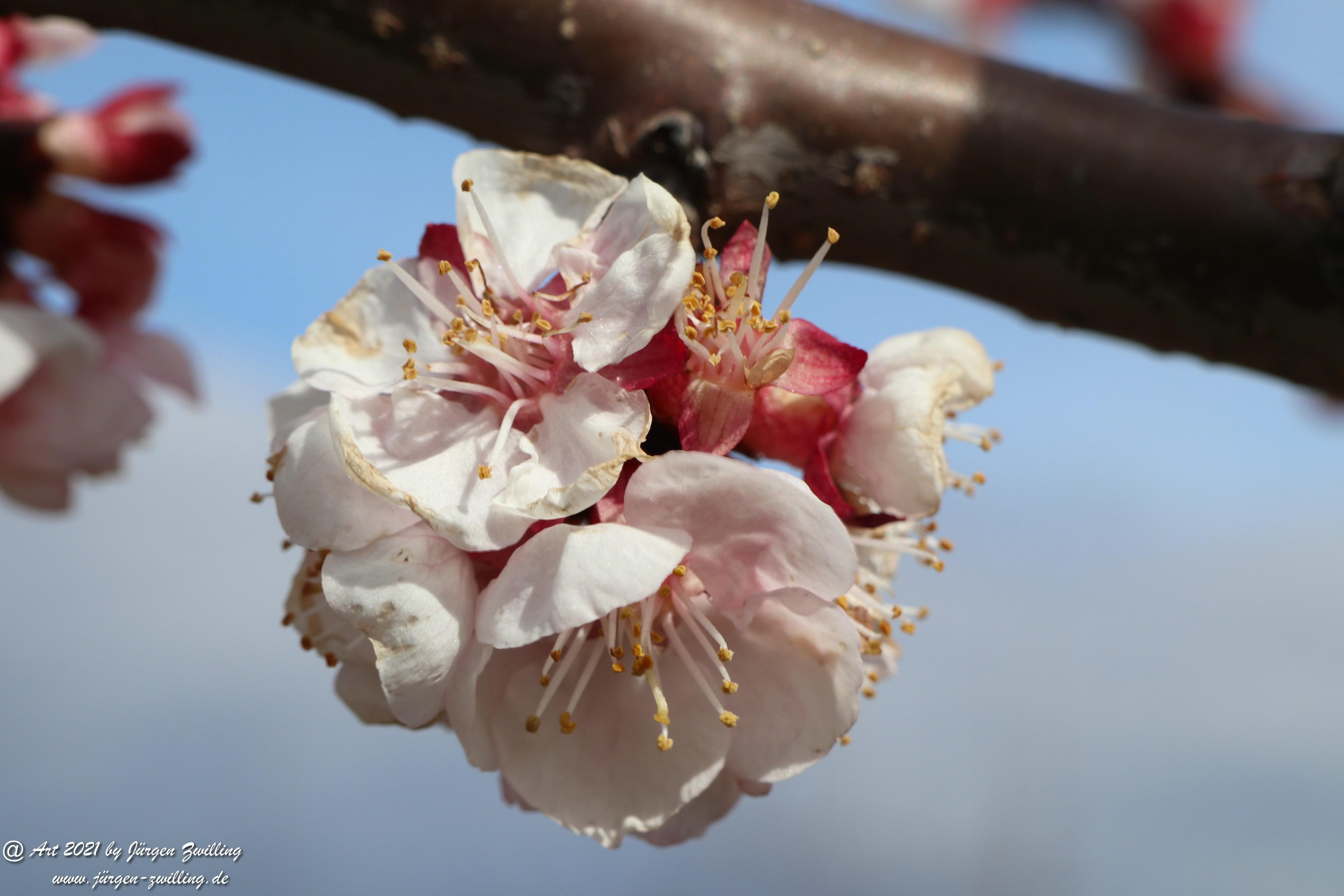 Aprikosenblüte 6