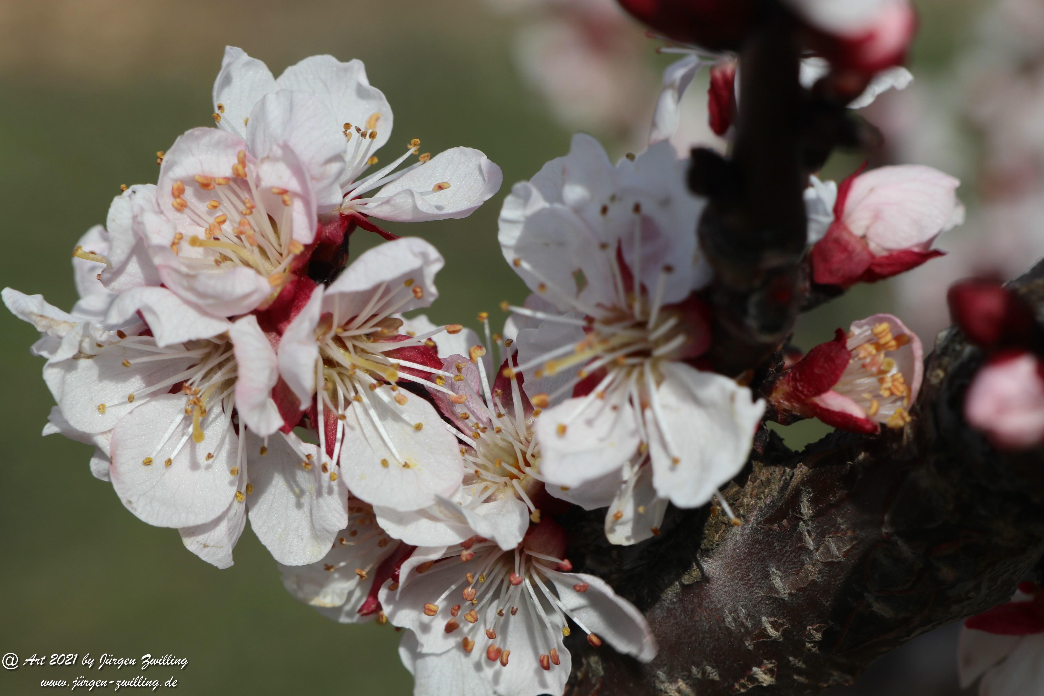 Aprikosenblüte 8