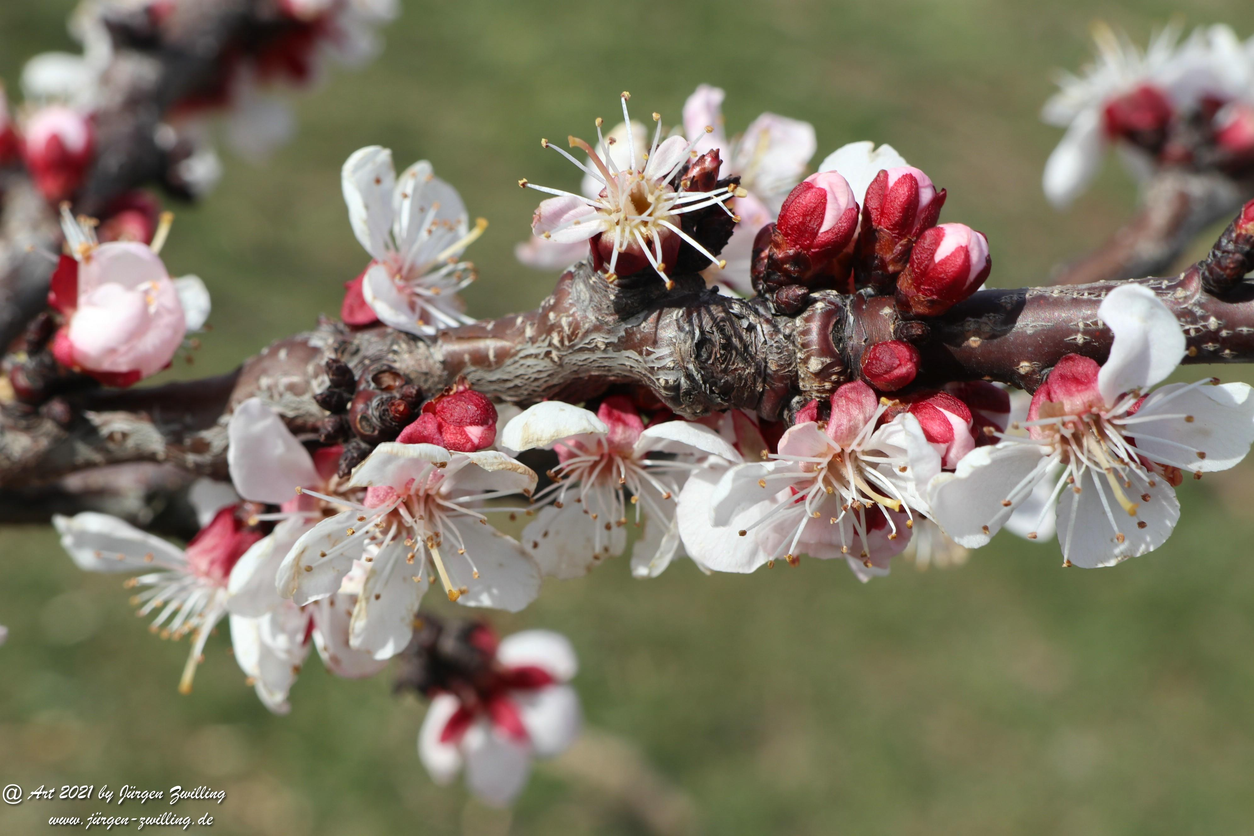 Aprikosenblüte 9