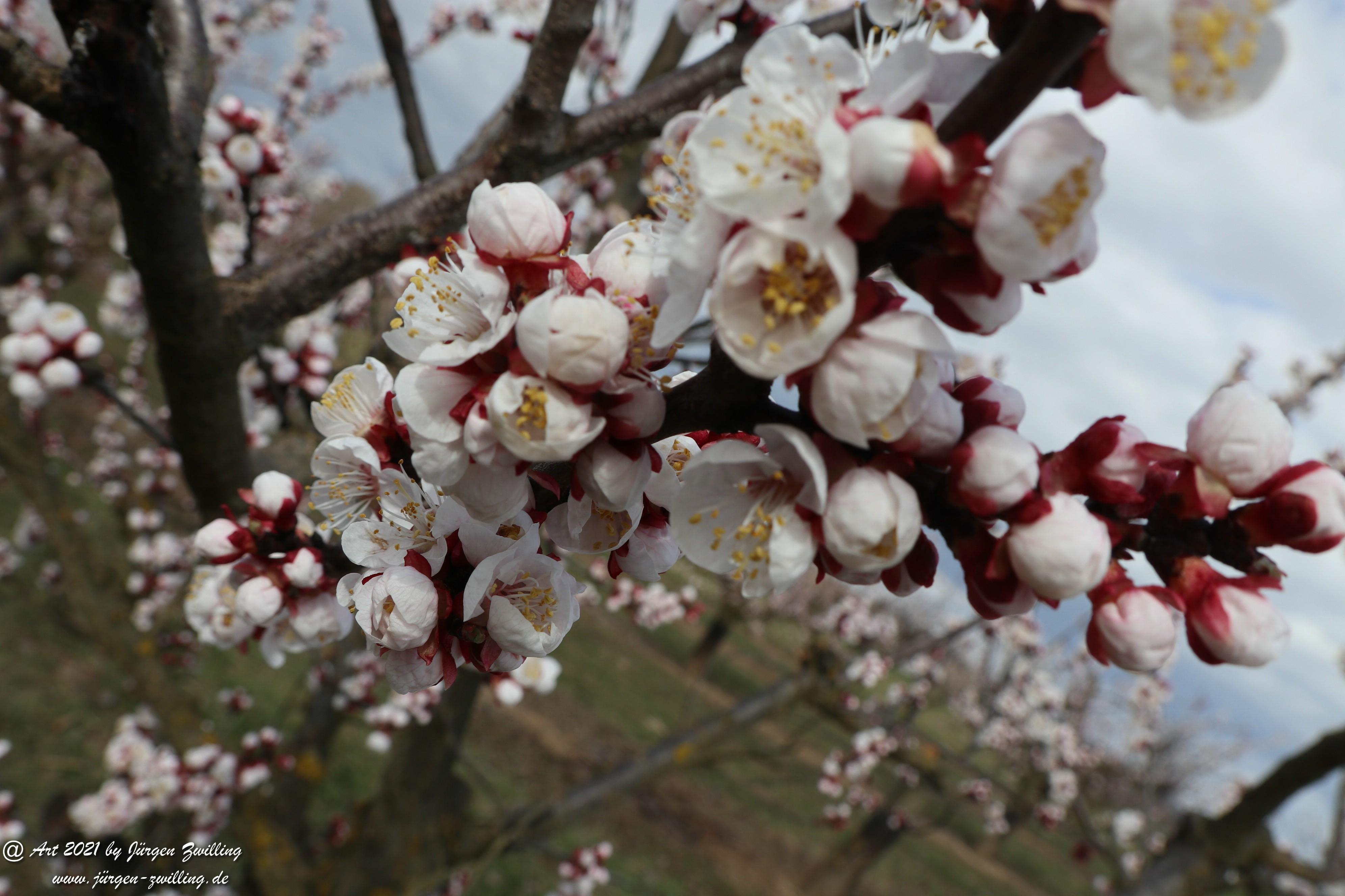 Aprikosenblüte 10