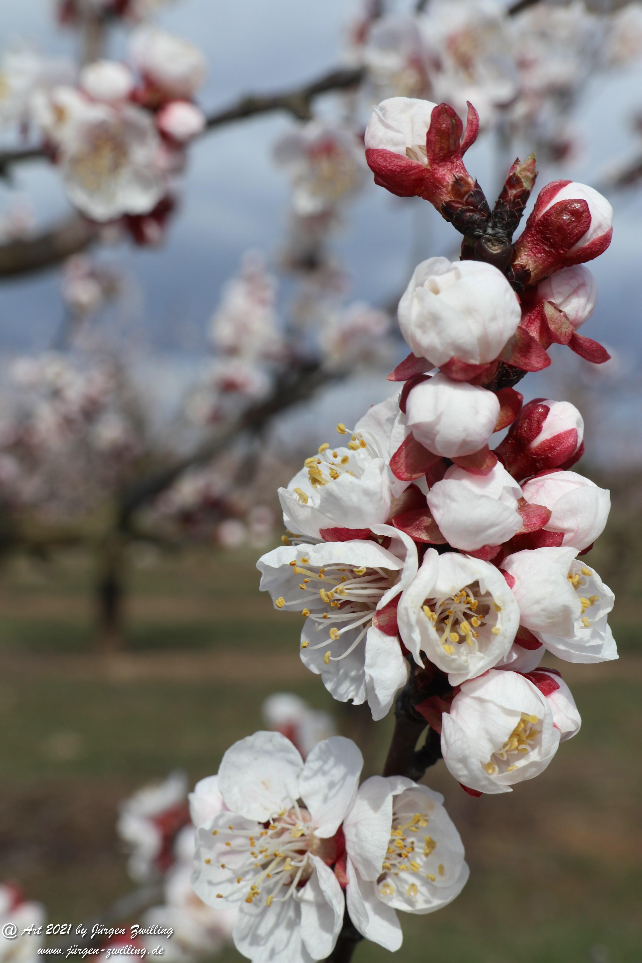 Aprikosenblüte 11