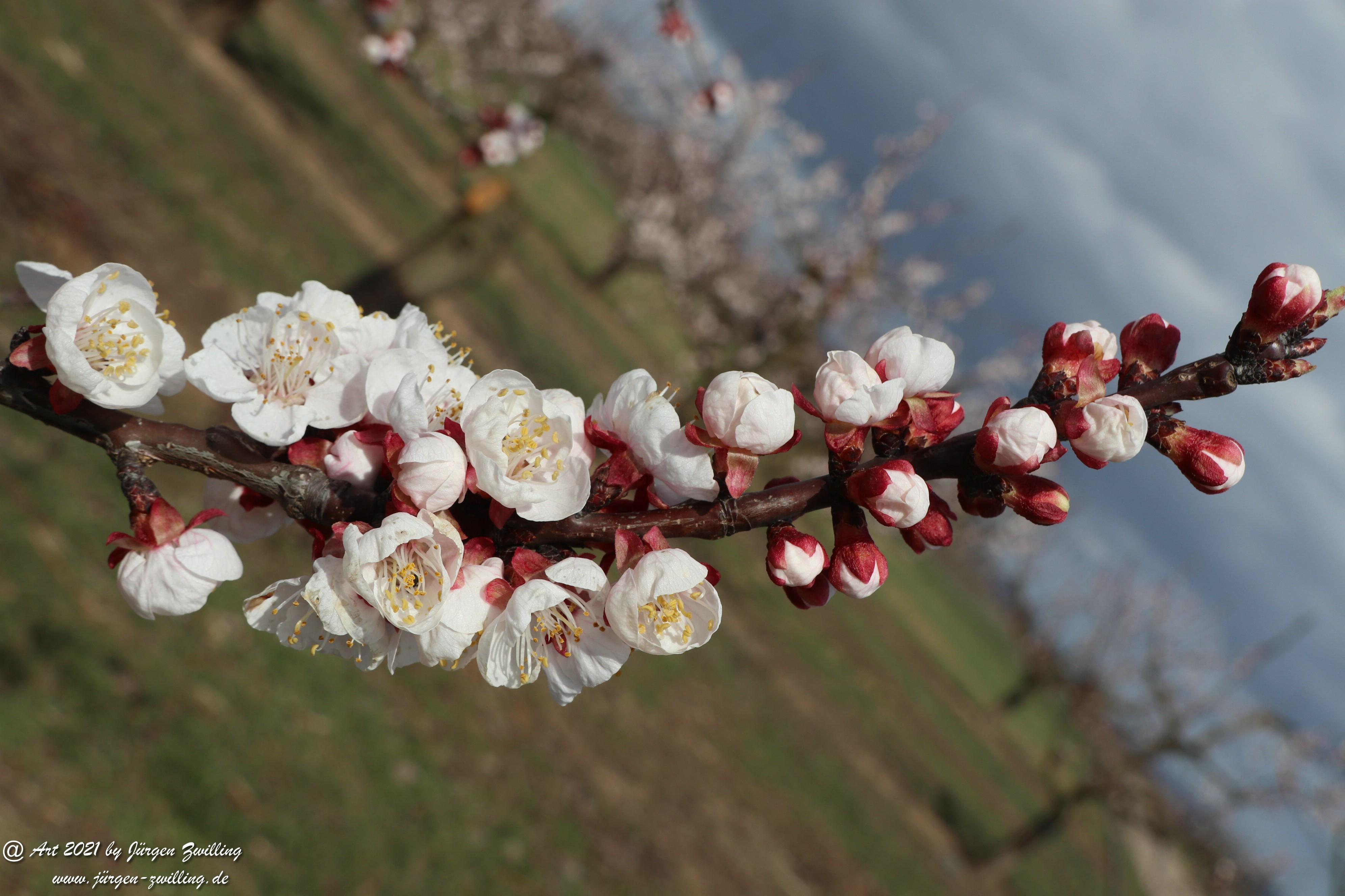 Aprikosenblüte 12