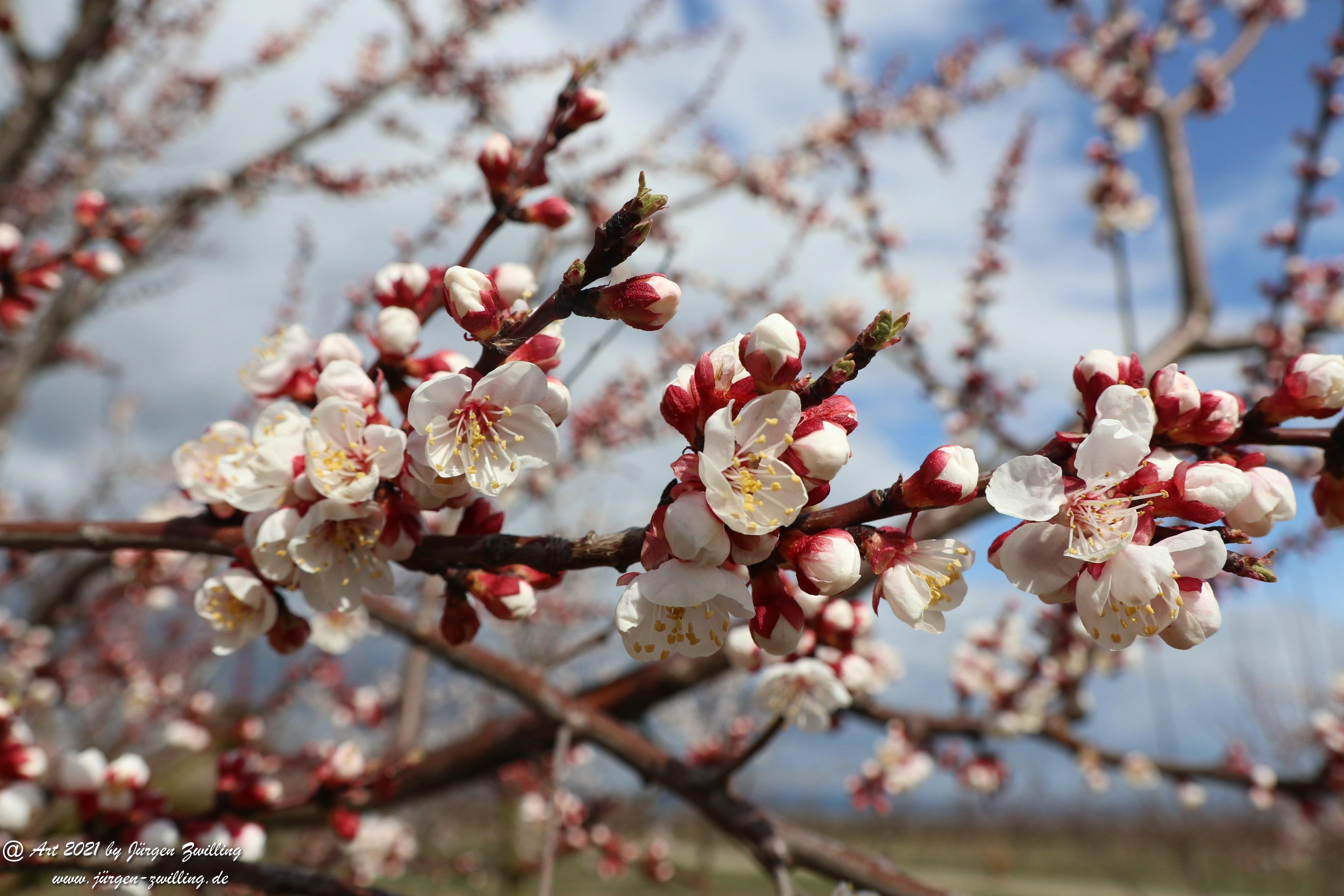 Aprikosenblüte 13