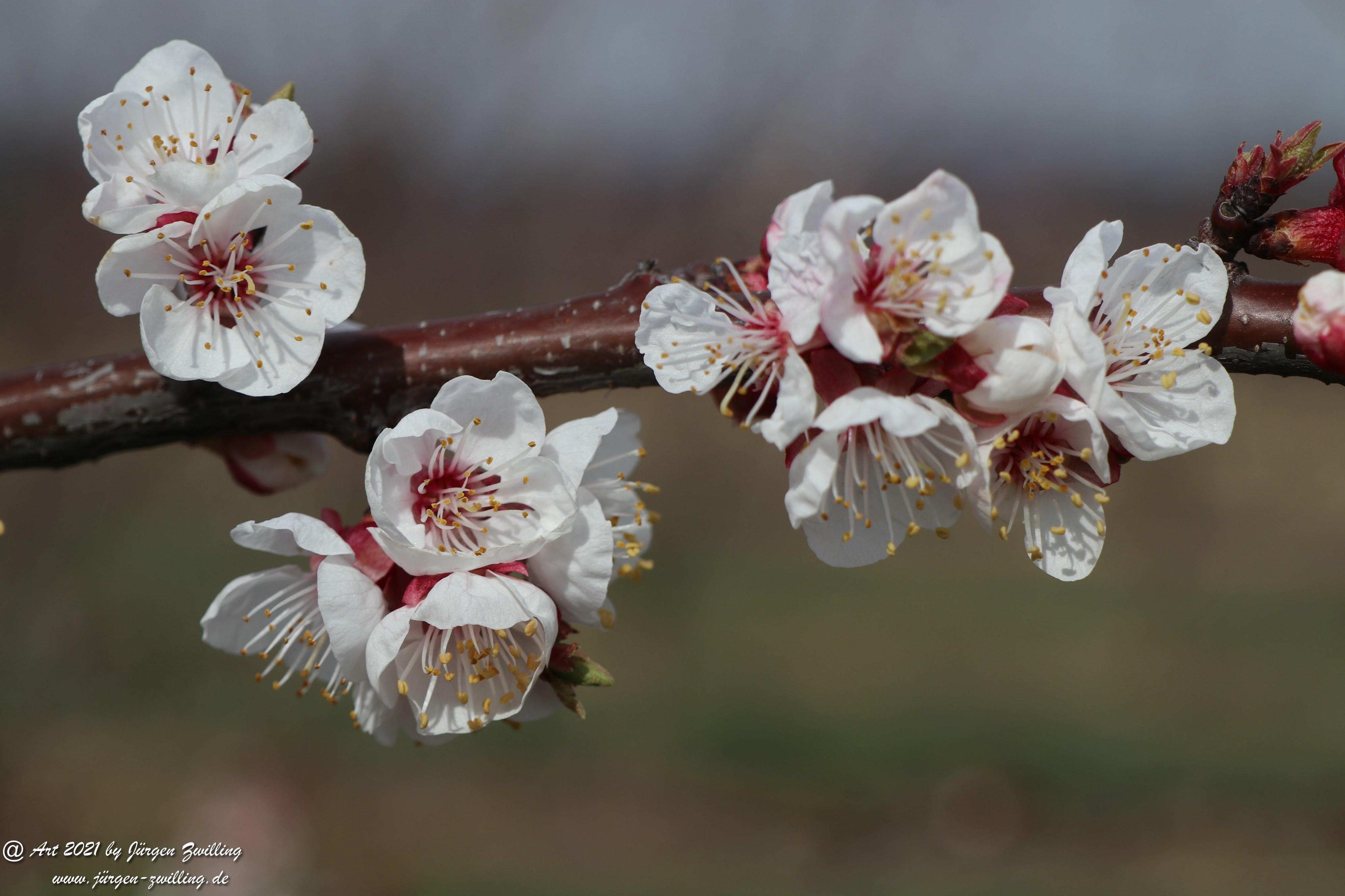 Aprikosenblüte 15