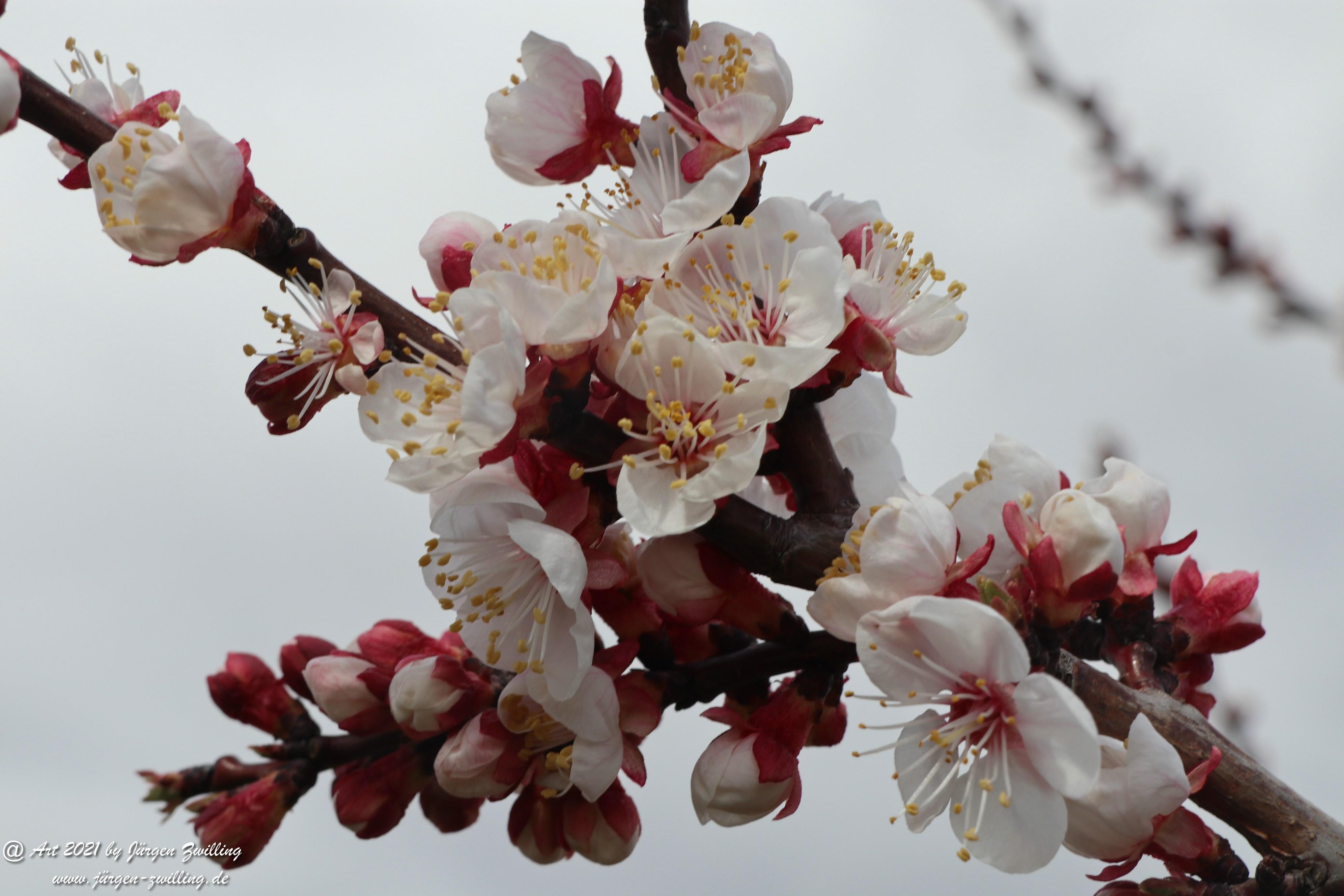 Aprikosenblüte 16
