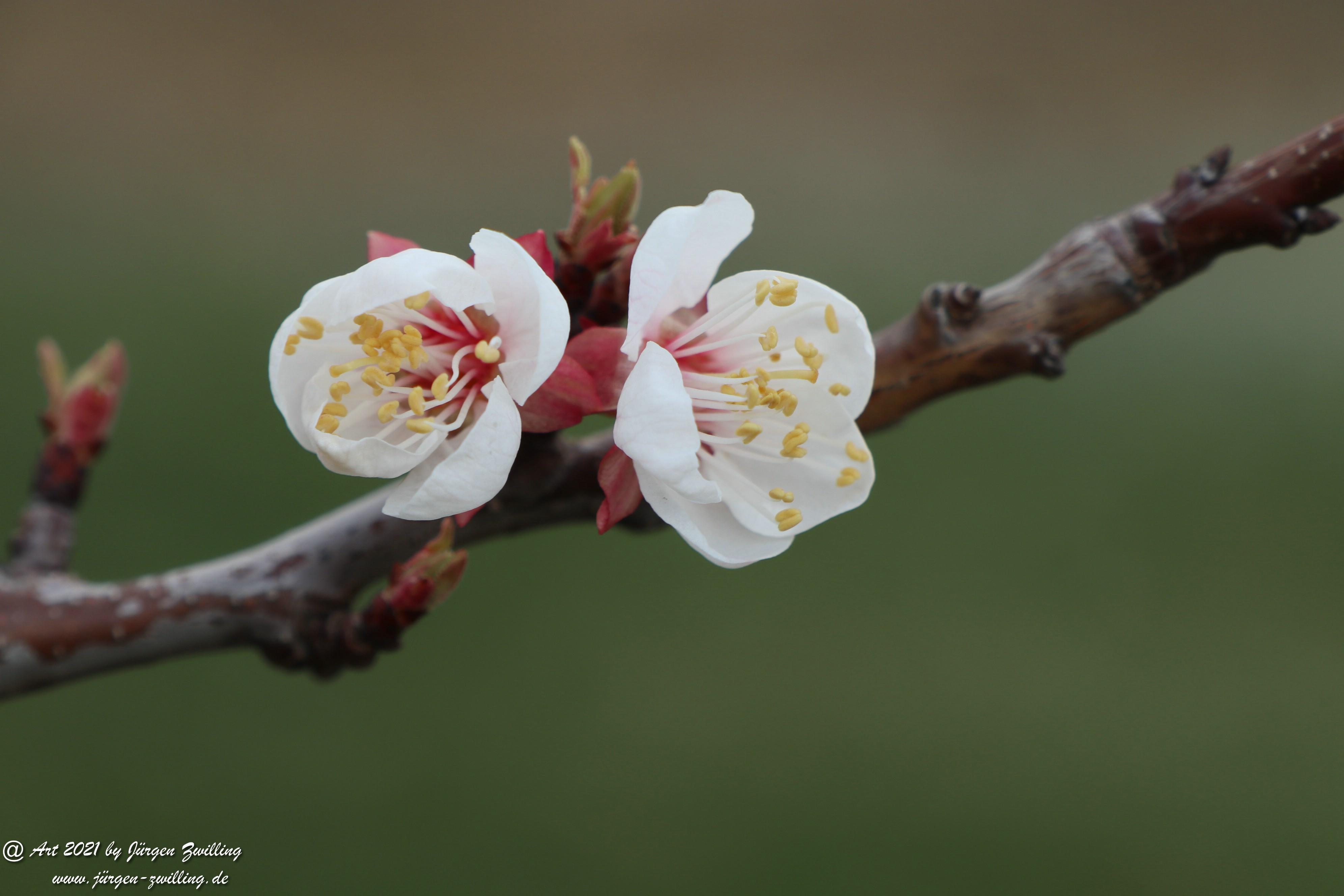 Aprikosenblüte 17