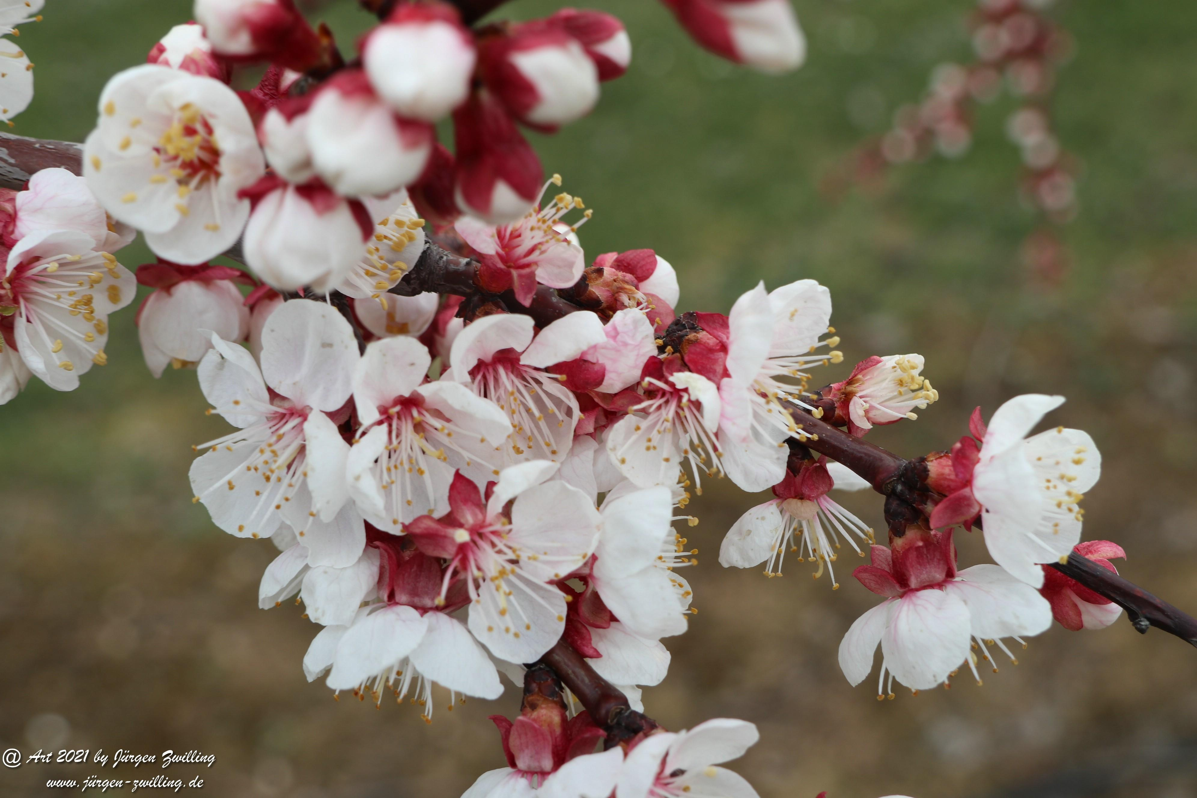 Aprikosenblüte 18