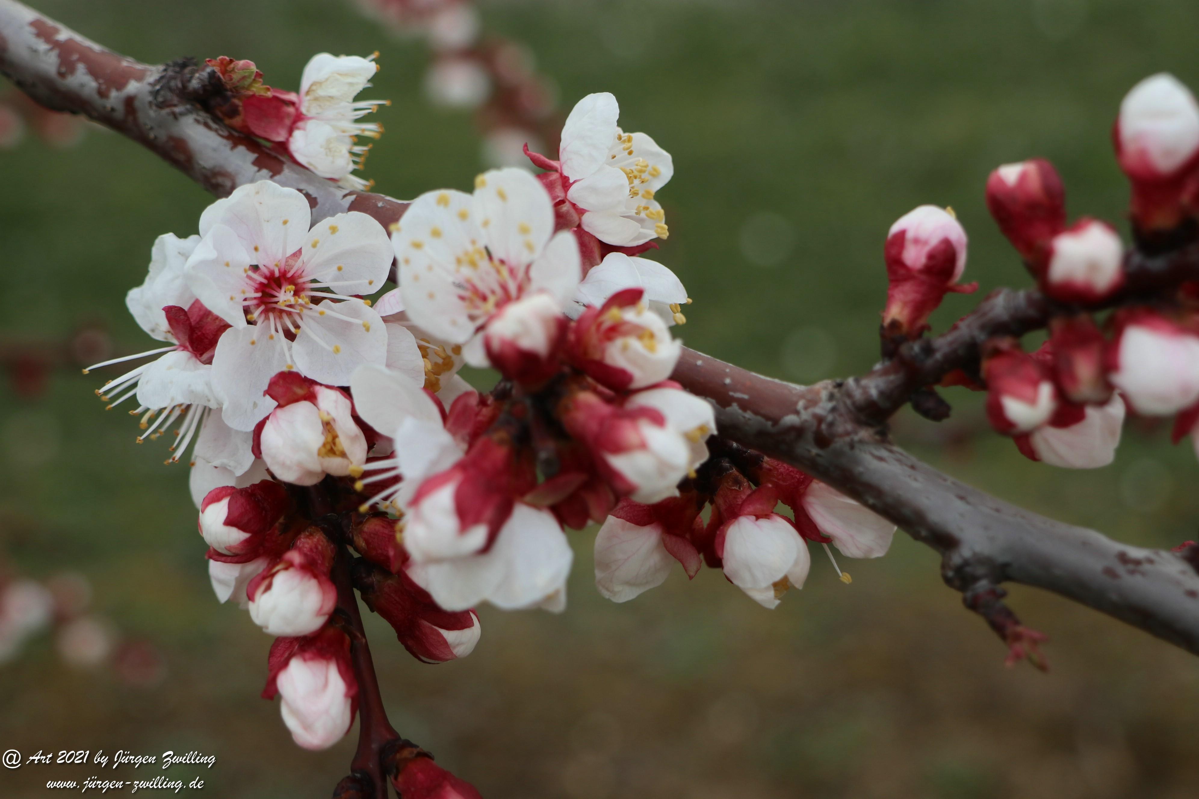 Aprikosenblüte 19