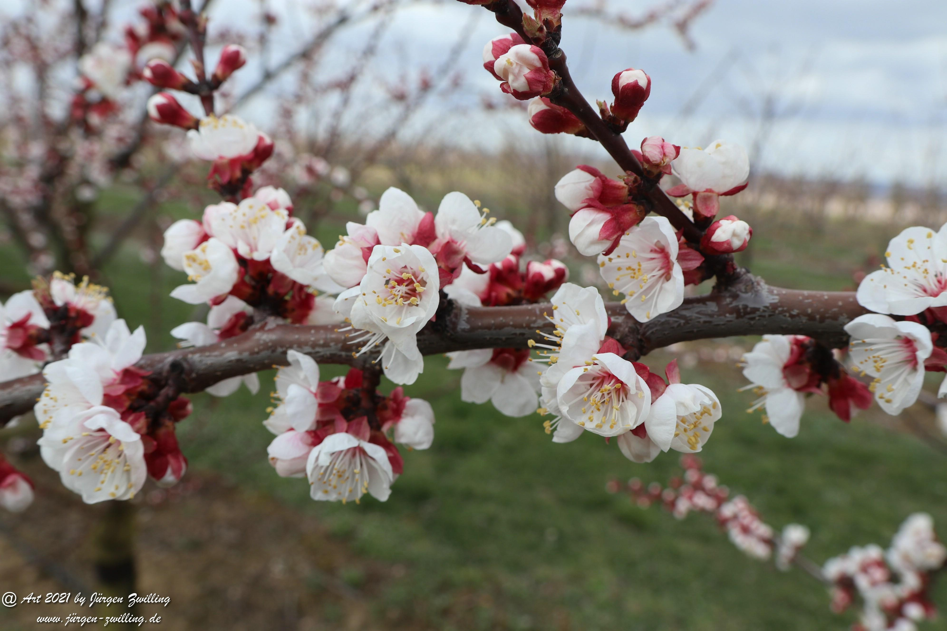 Aprikosenblüte 20