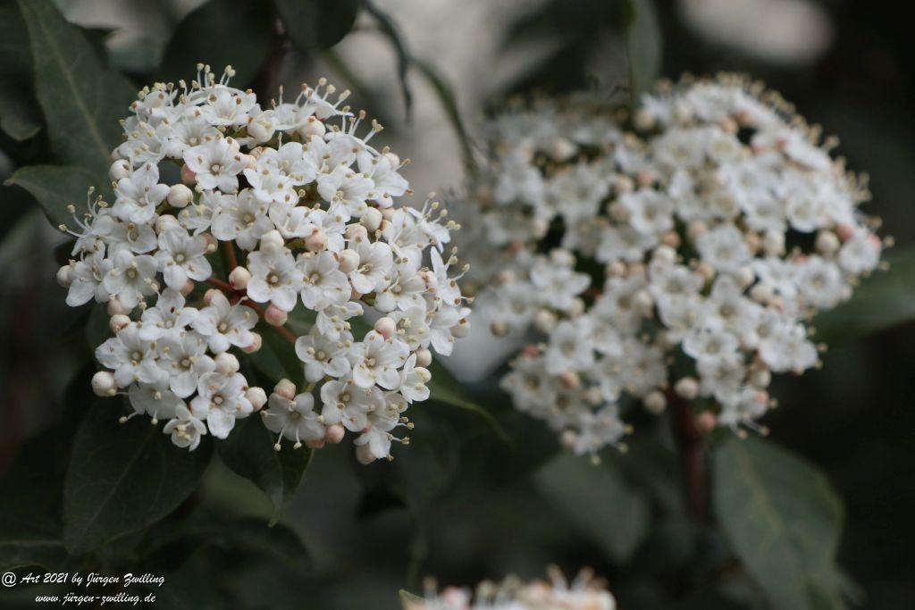 Twelve Native Milkweeds for Monarchs - Rosengarten - Mainz  - Rheinhessen