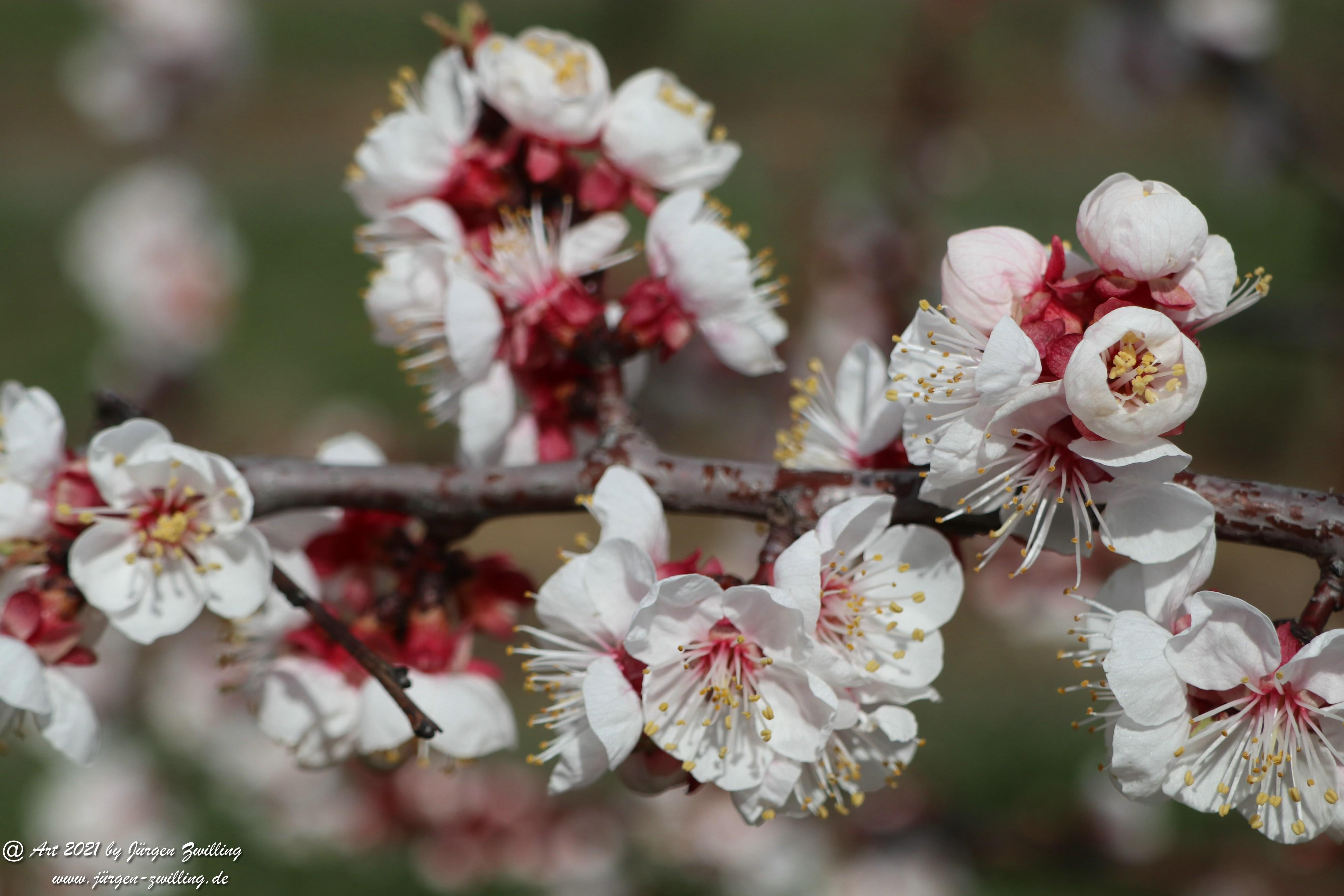 Aprikosenblüte 21