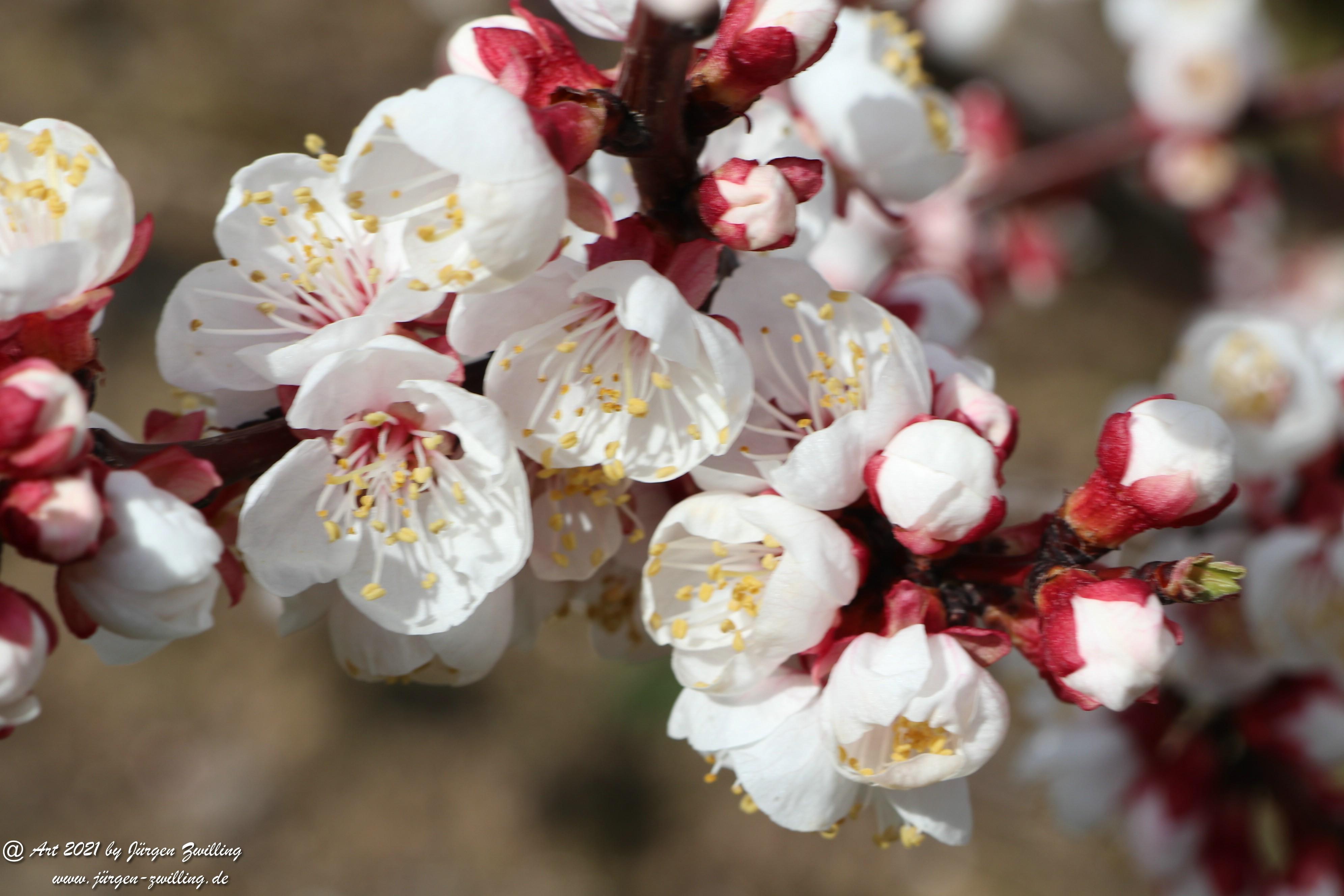Aprikosenblüte 24