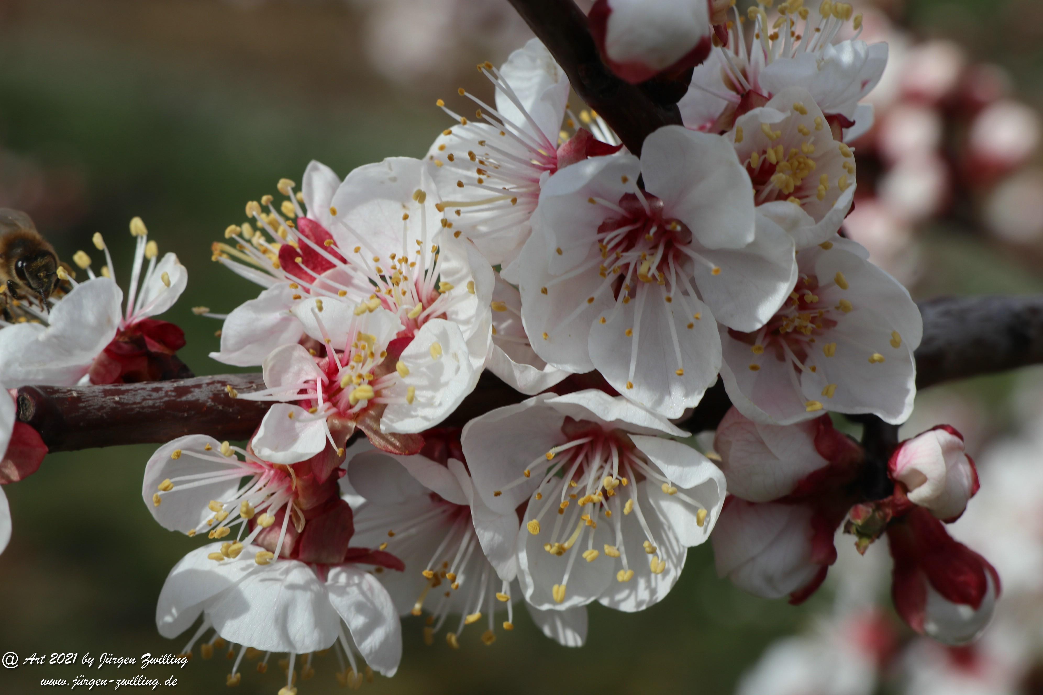 Aprikosenblüte 26
