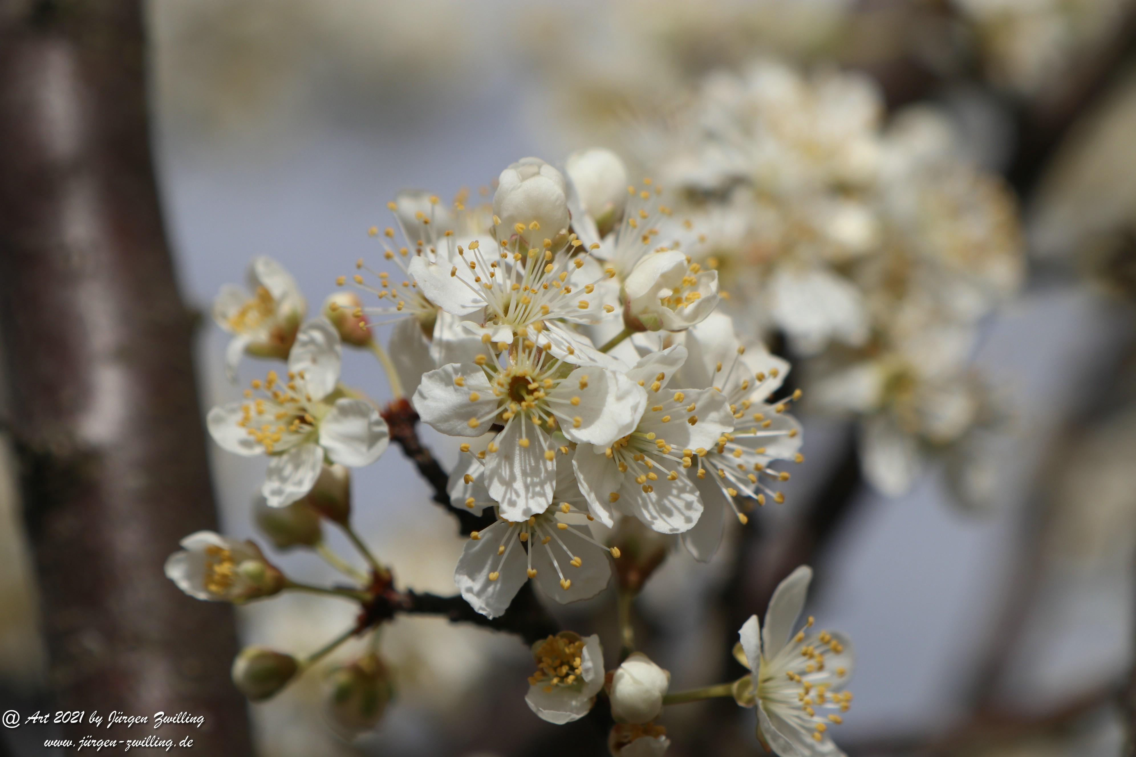 Mirabellenblüte 4