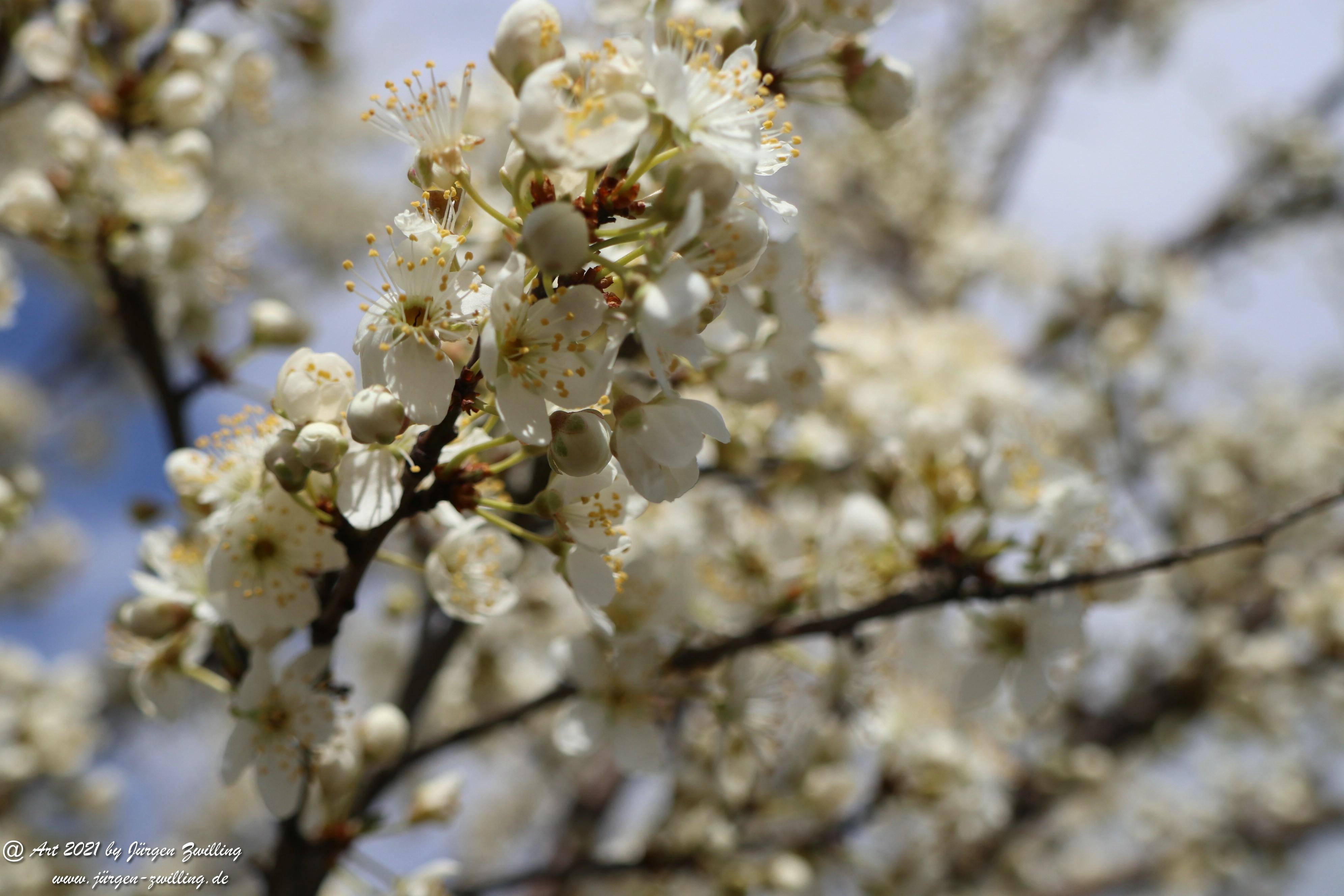 Mirabellenblüte 5