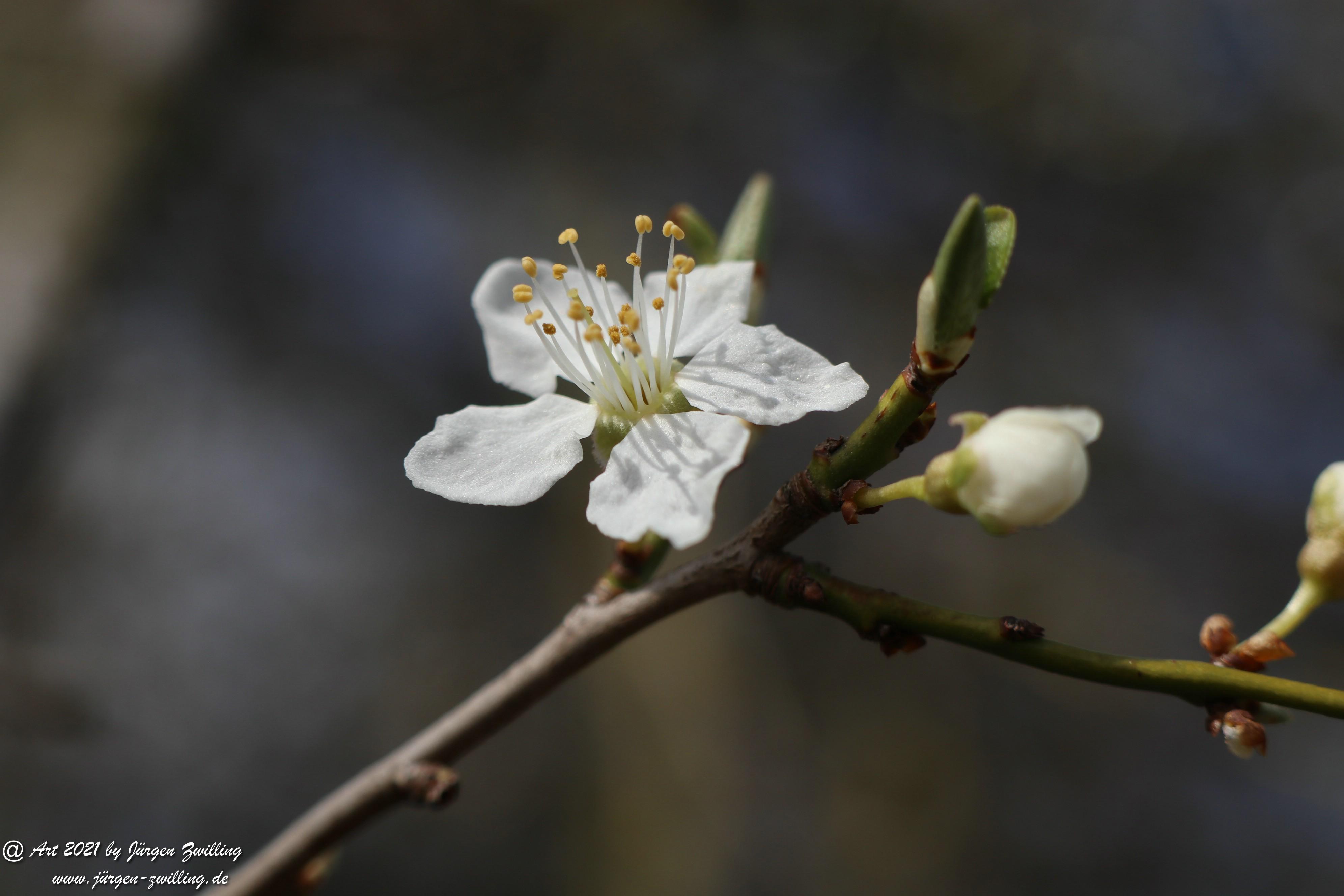 Mirabellenblüte 9