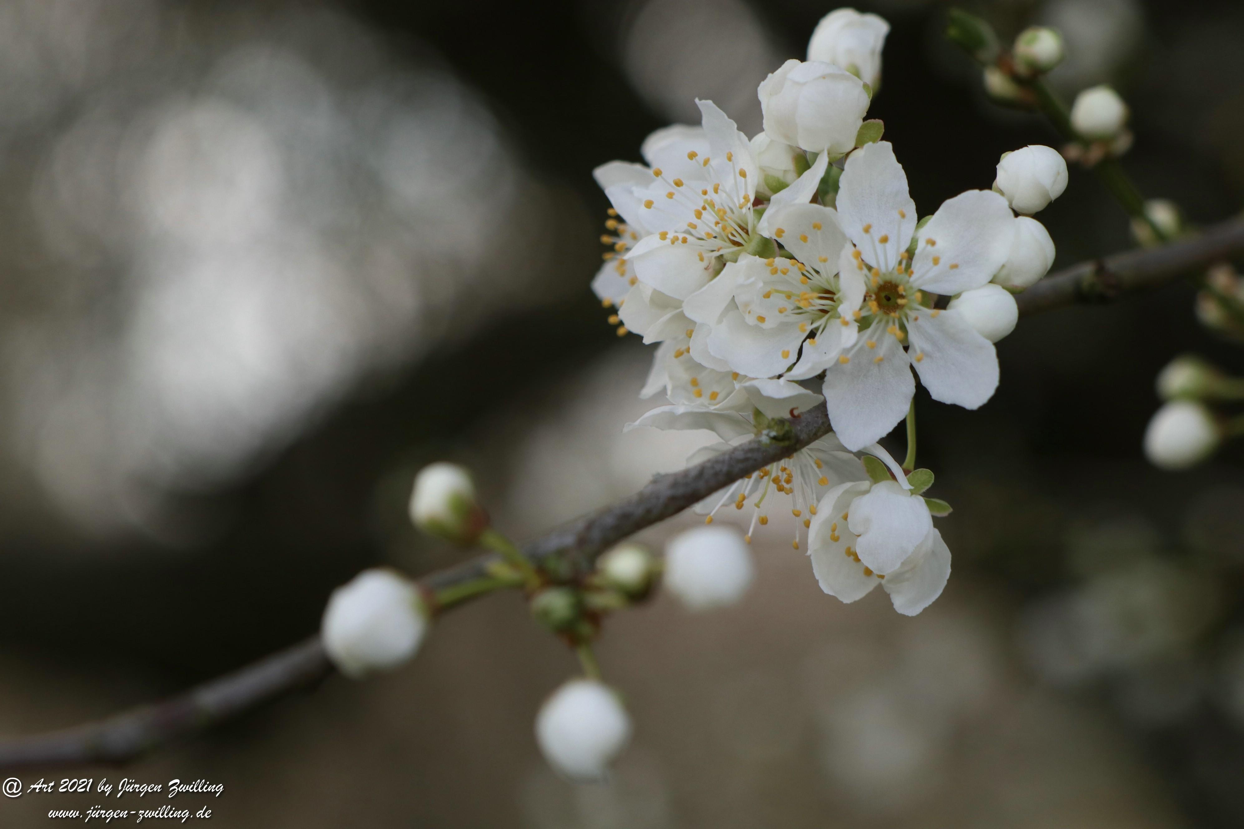 Mirabellenblüte 11