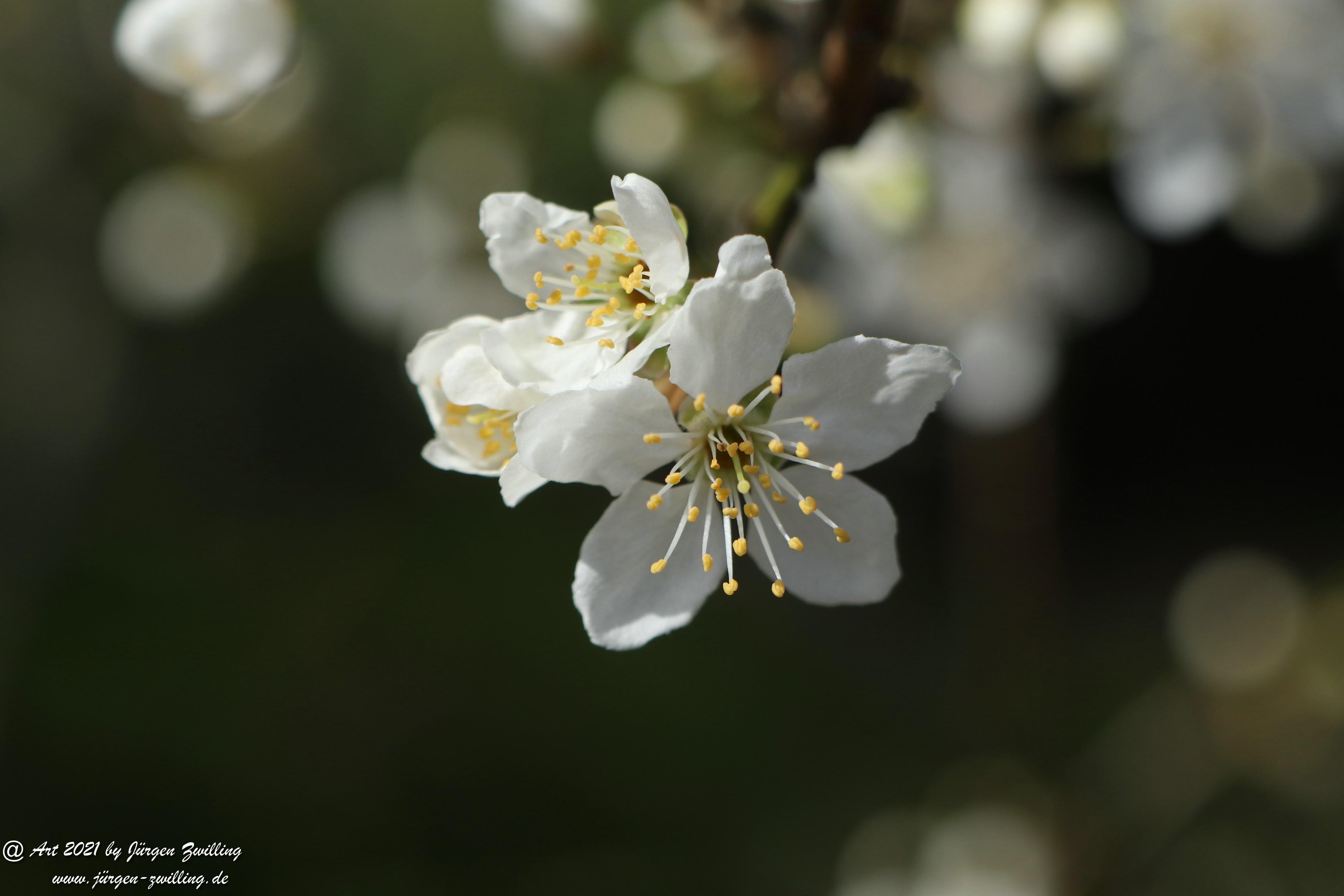 Mirabellenblüte 12
