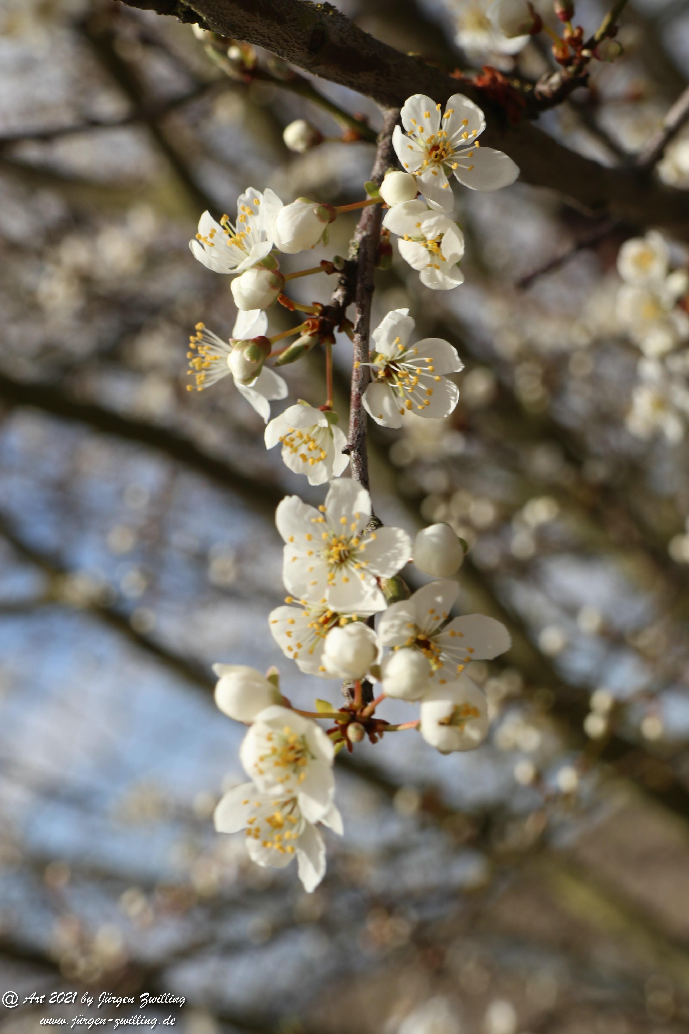 Mirabellenblüte 13