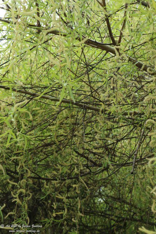 Trauerweide (Salix babylonica) - Rosengarten - Mainz  - Rheinhessen