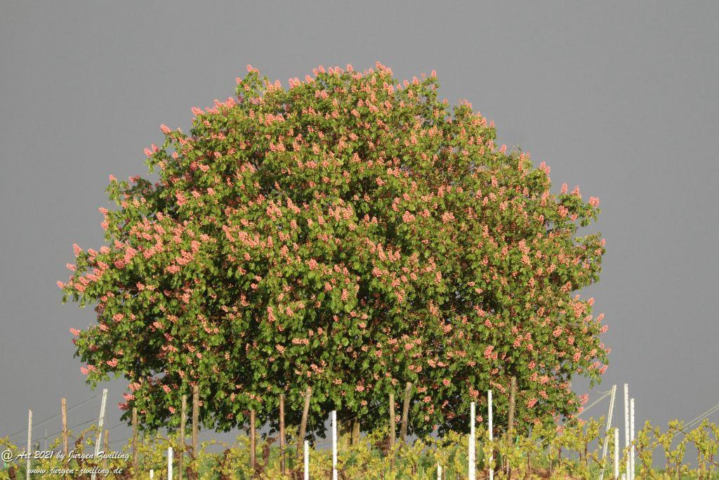 Kastanienbaum im Wingert - Hackenheim - Rheinhesssen