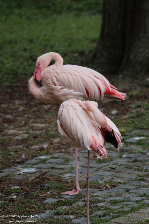 Flamingos (Phoenicopteridae) - Rosengarten - Mainz - Rheinhessen