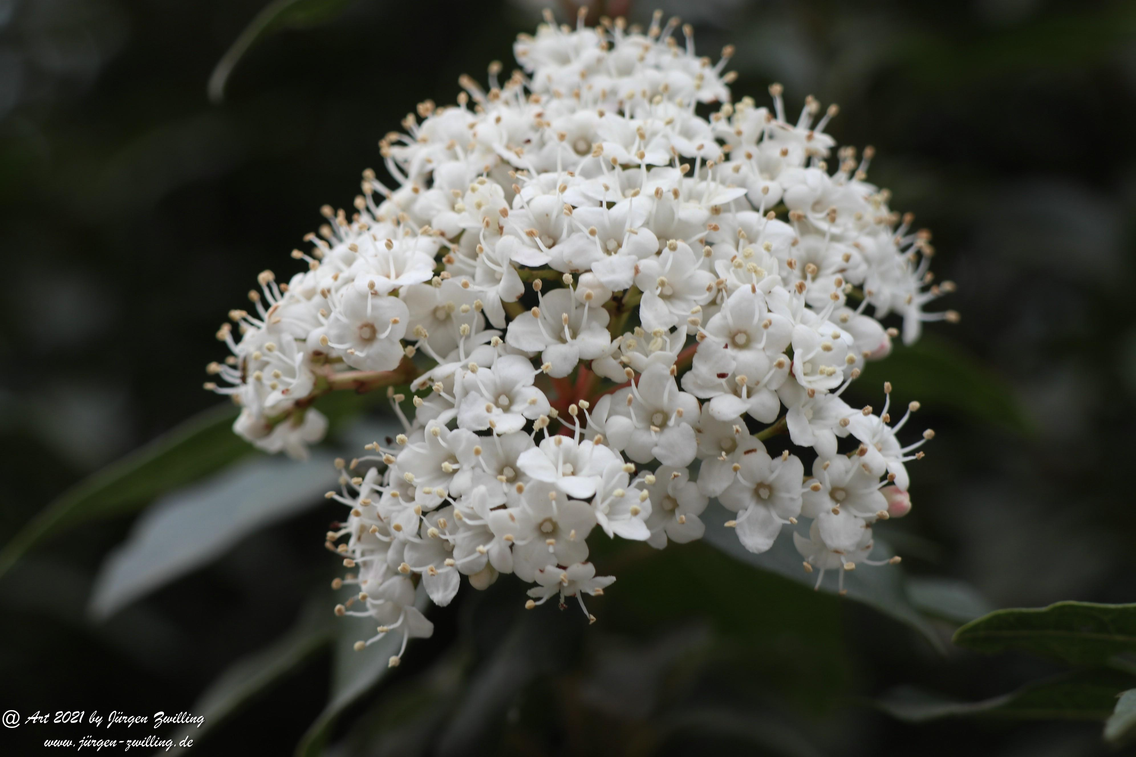 Twelve Native Milkweeds for Monarchs 4