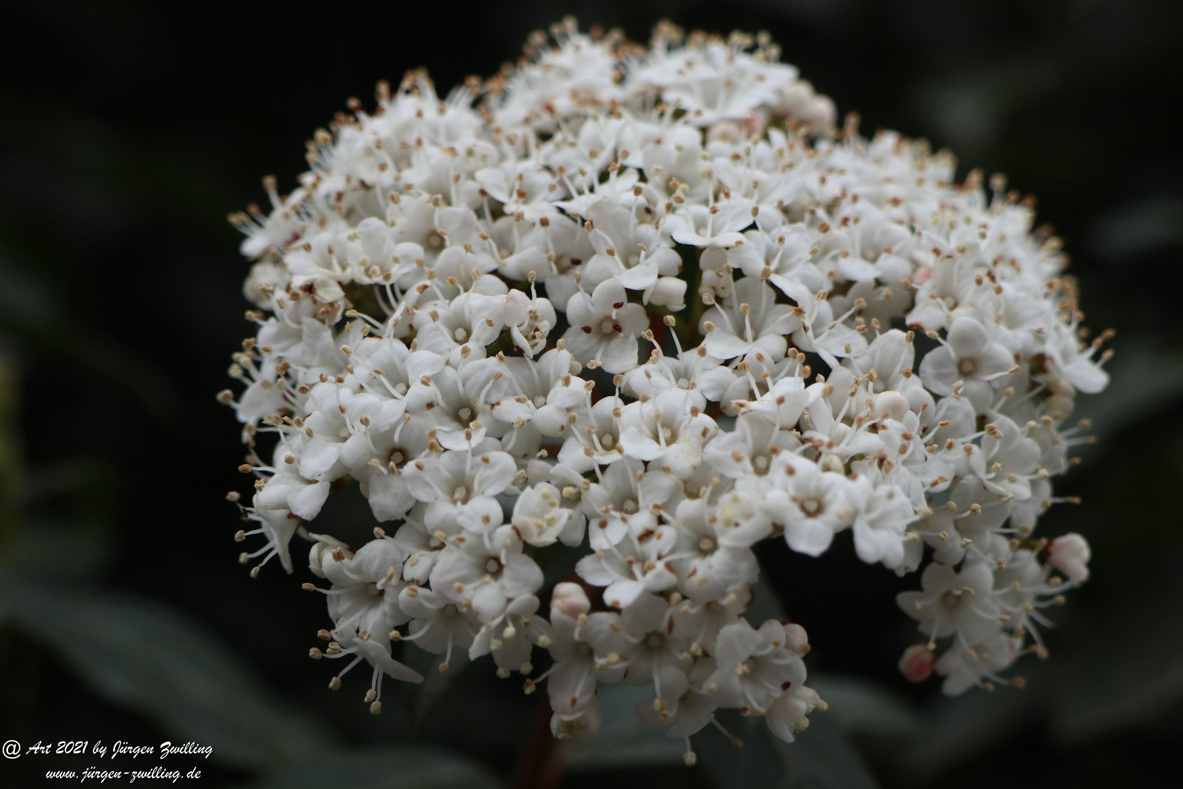 Twelve Native Milkweeds for Monarchs 5