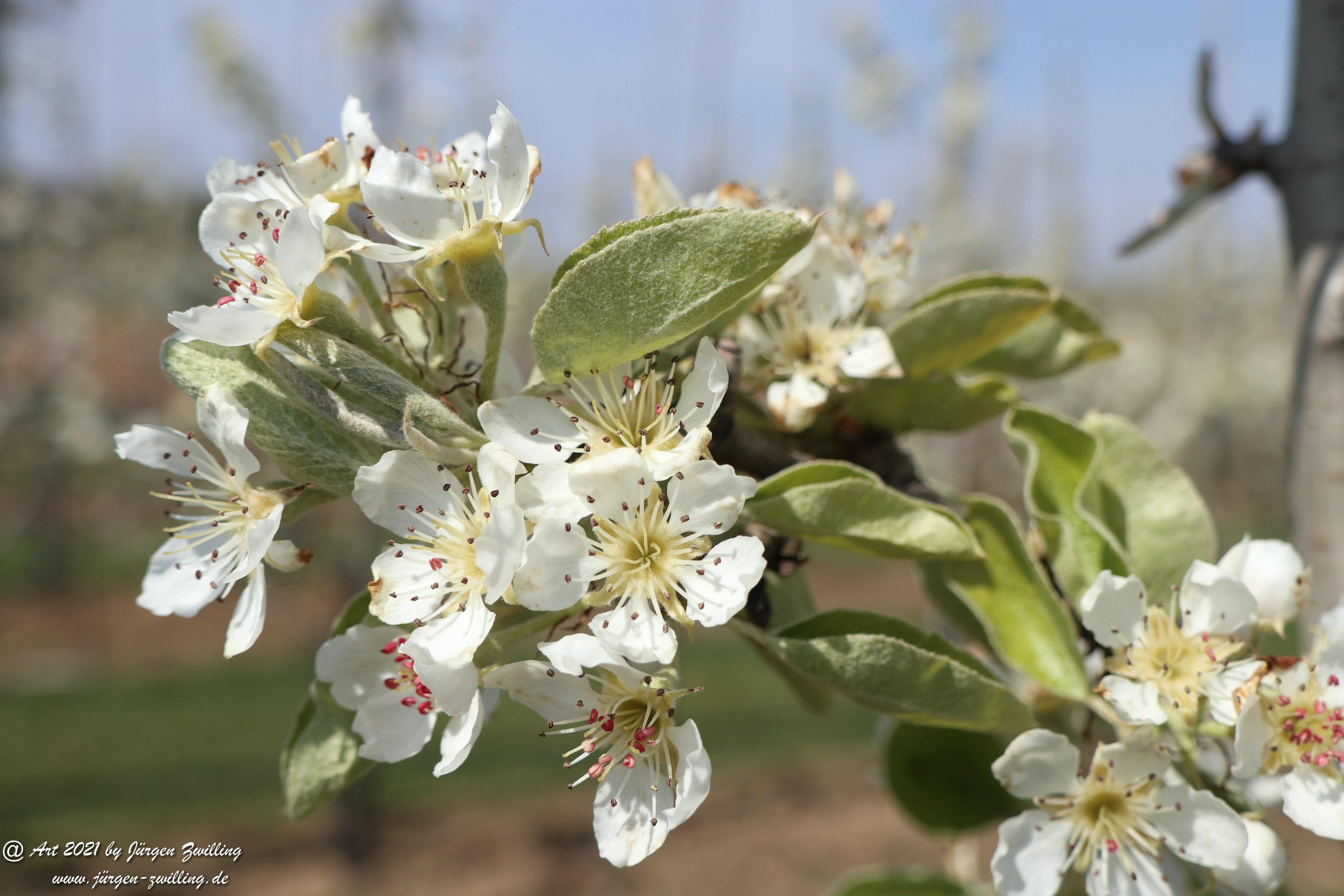 Birnbaumblüte 2