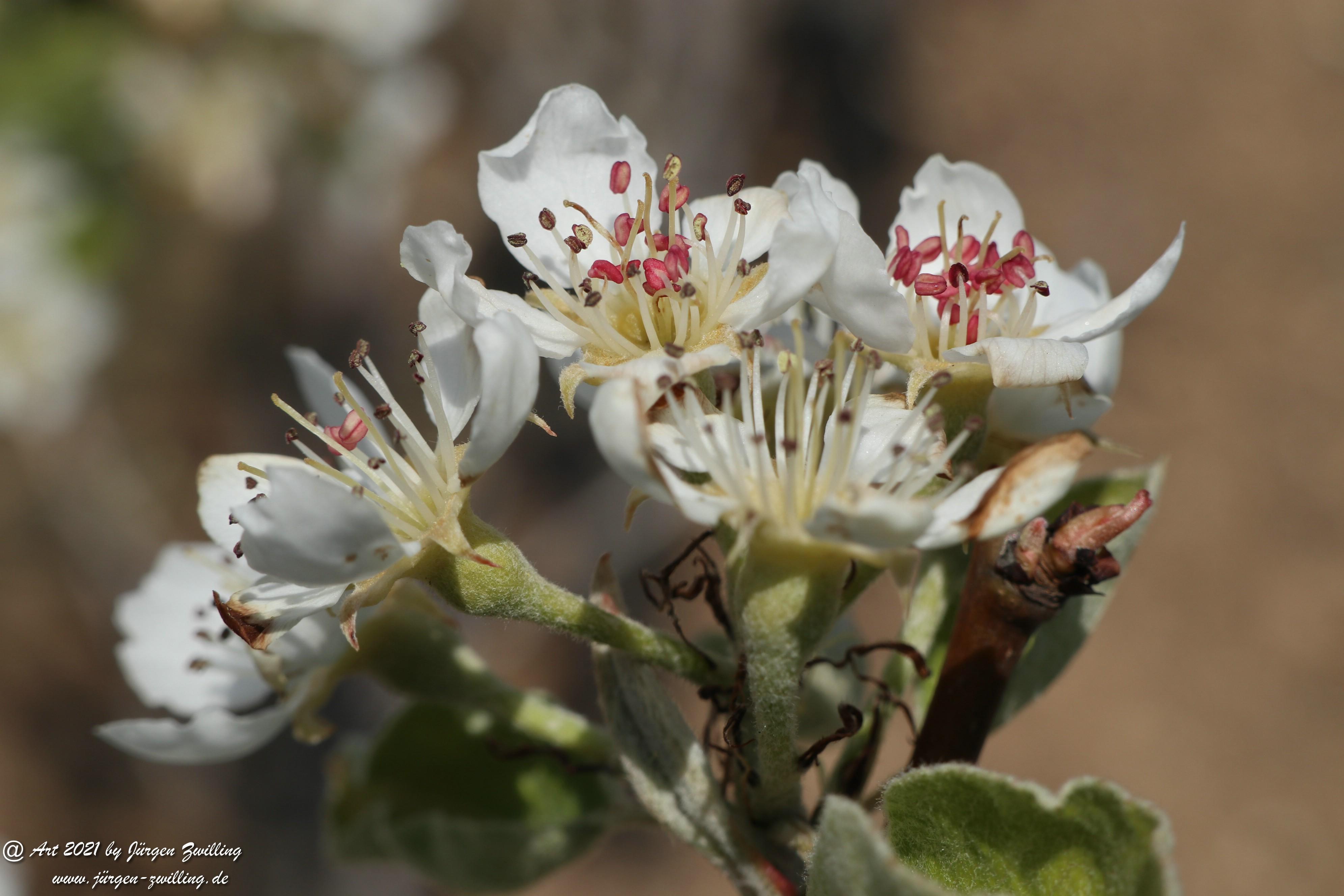 Birnbaumblüte 3