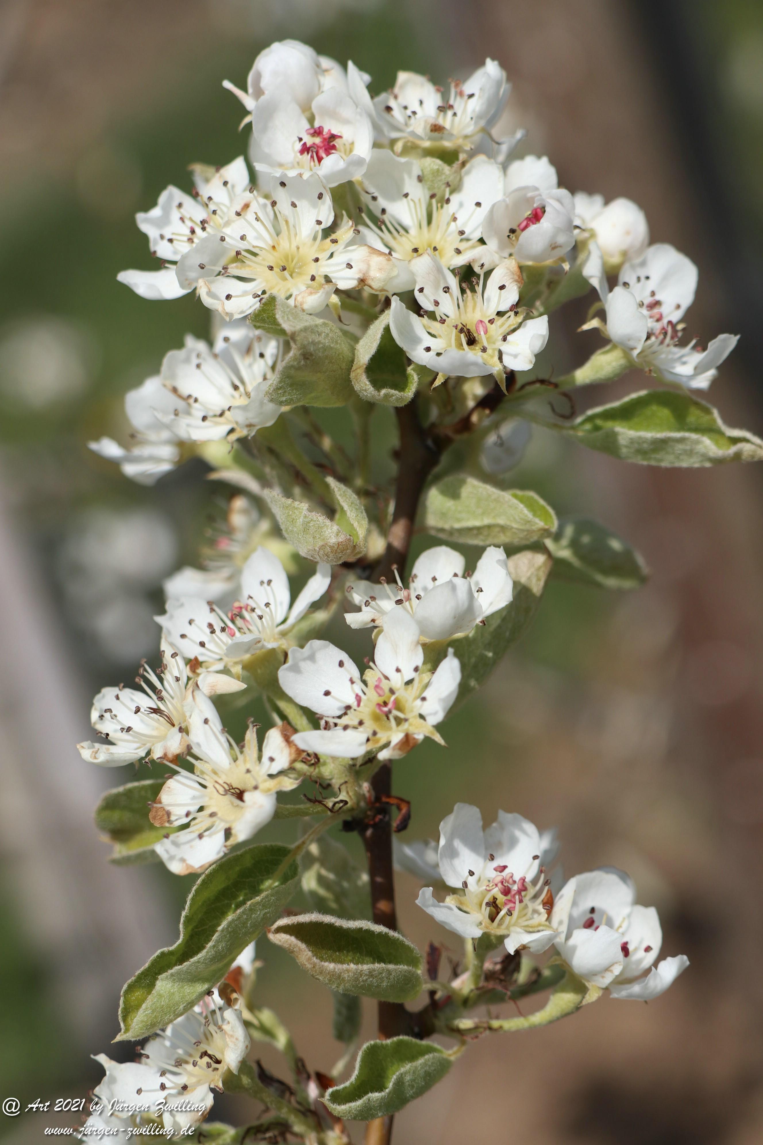 Birnbaumblüte 7