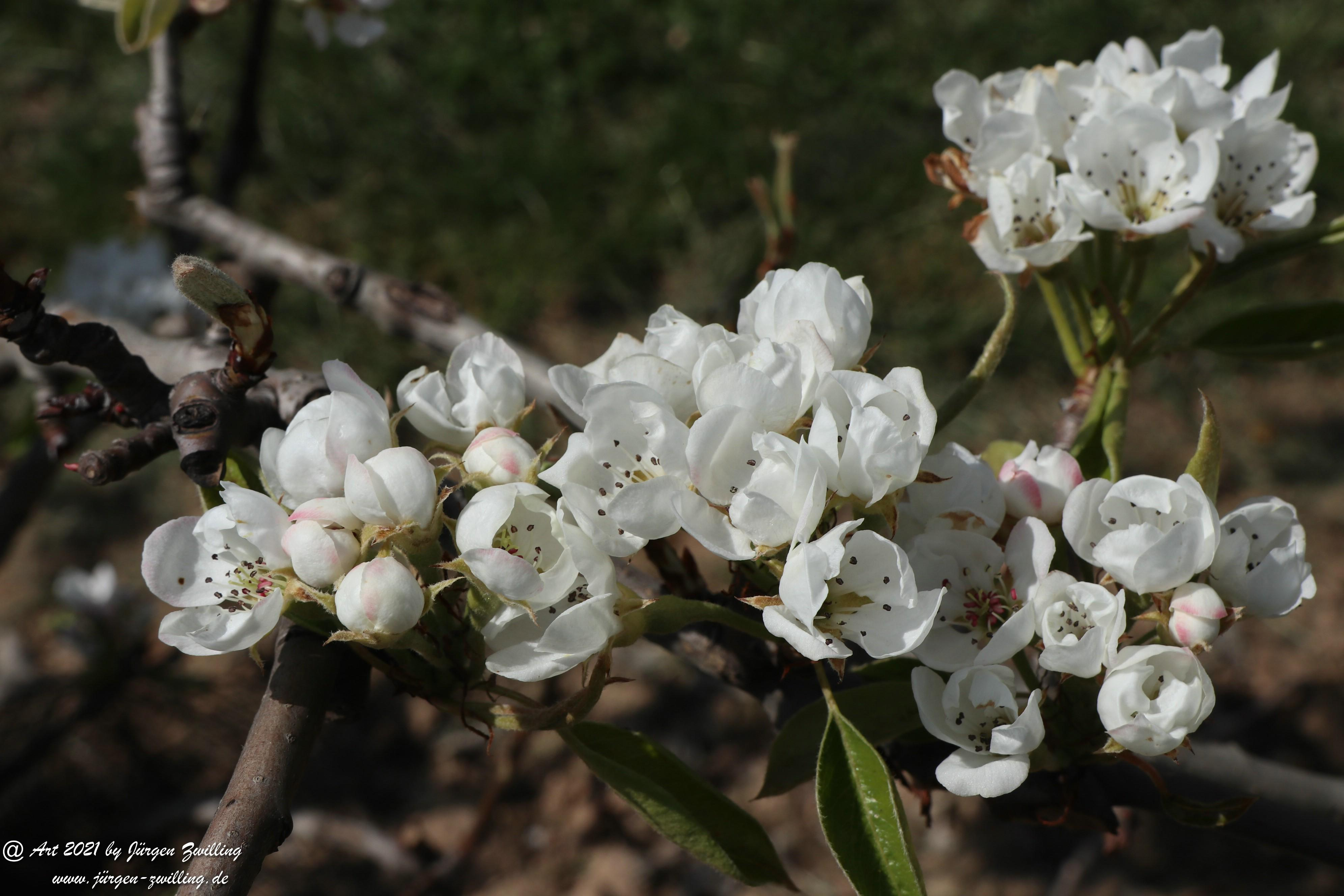 Birnbaumblüte 10