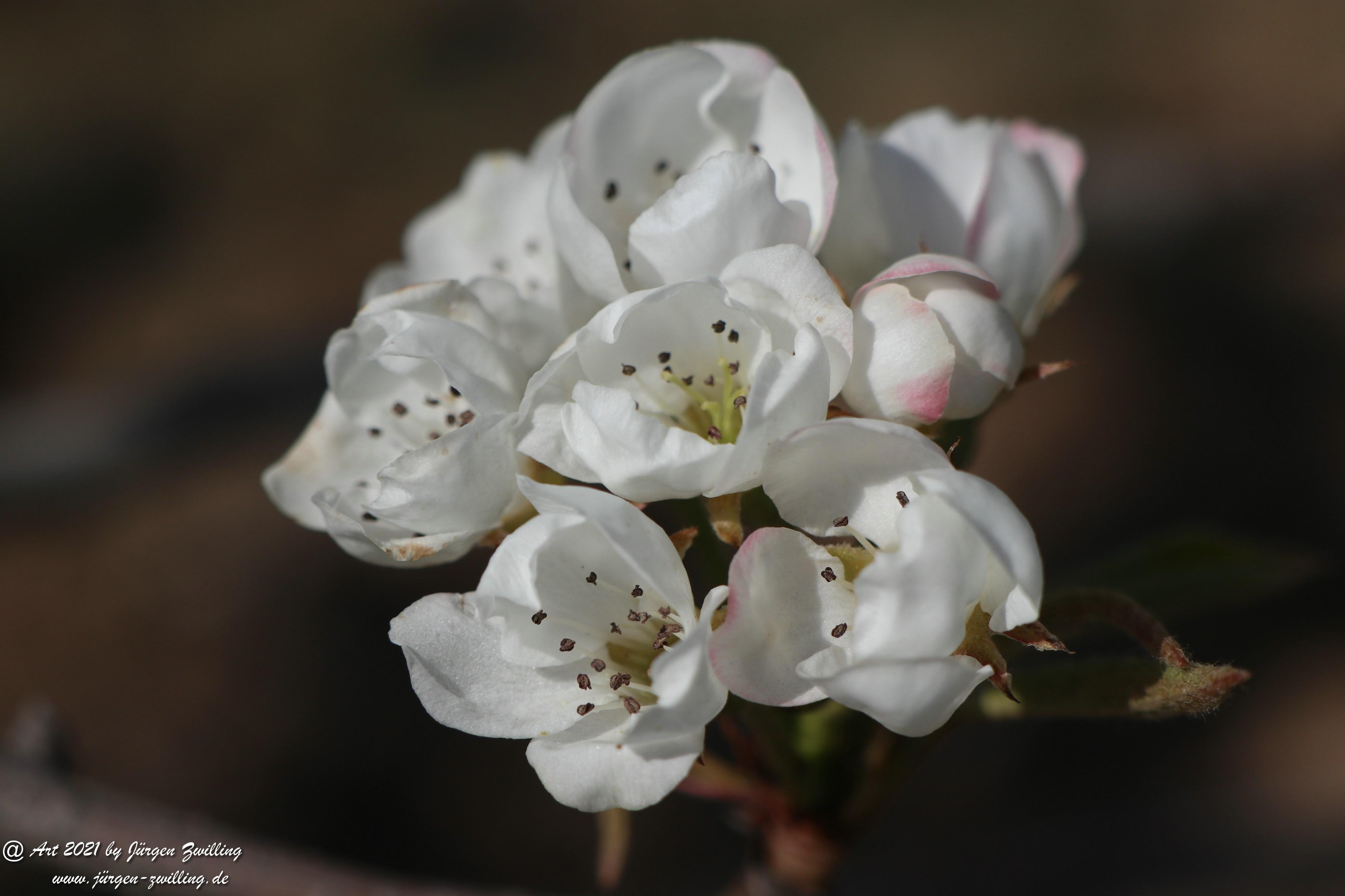 Birnbaumblüte 11