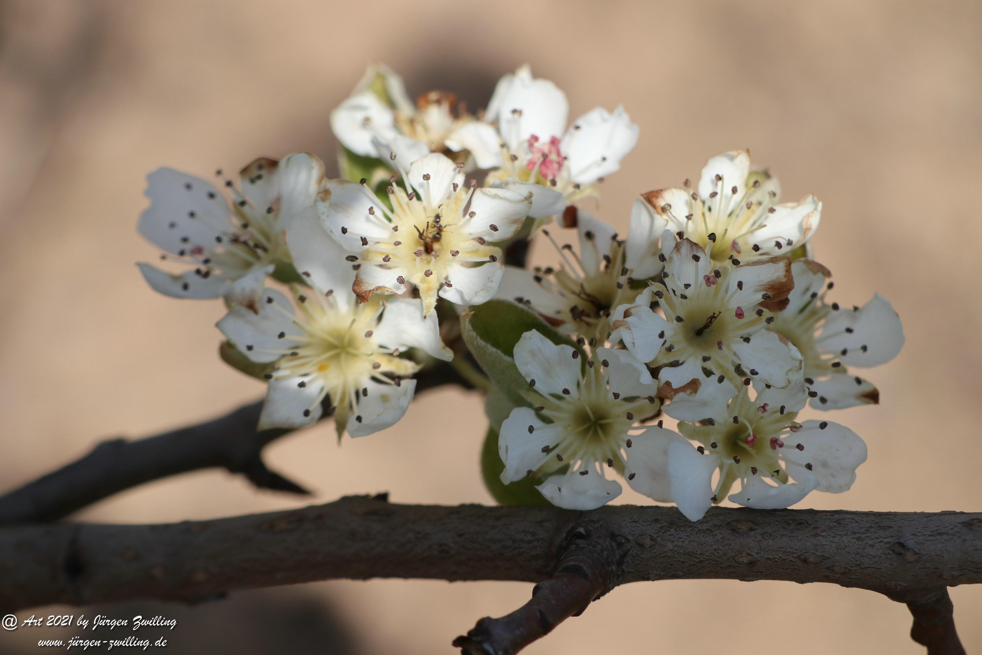 Birnbaumblüte 12