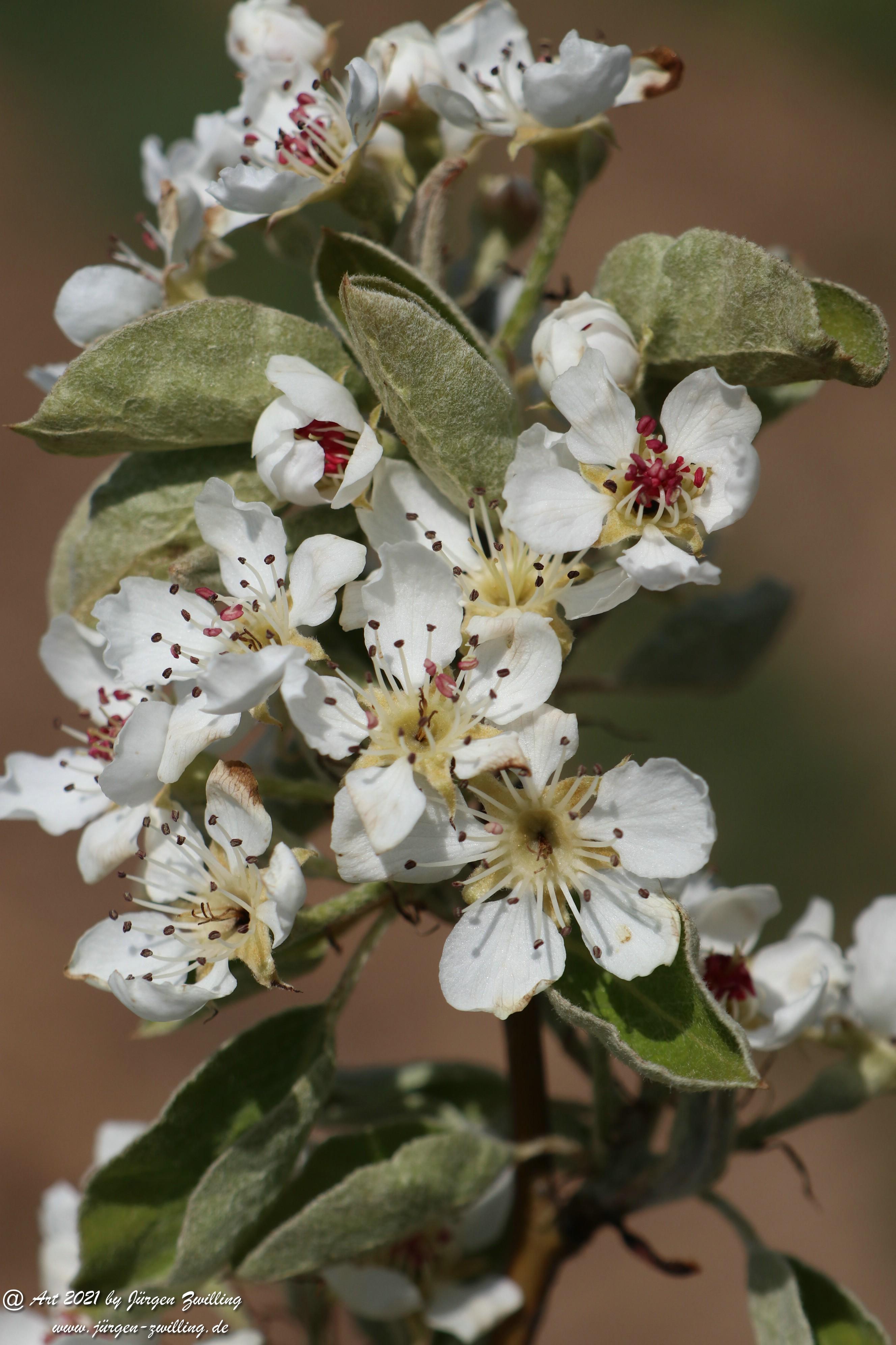 Birnbaumblüte 14