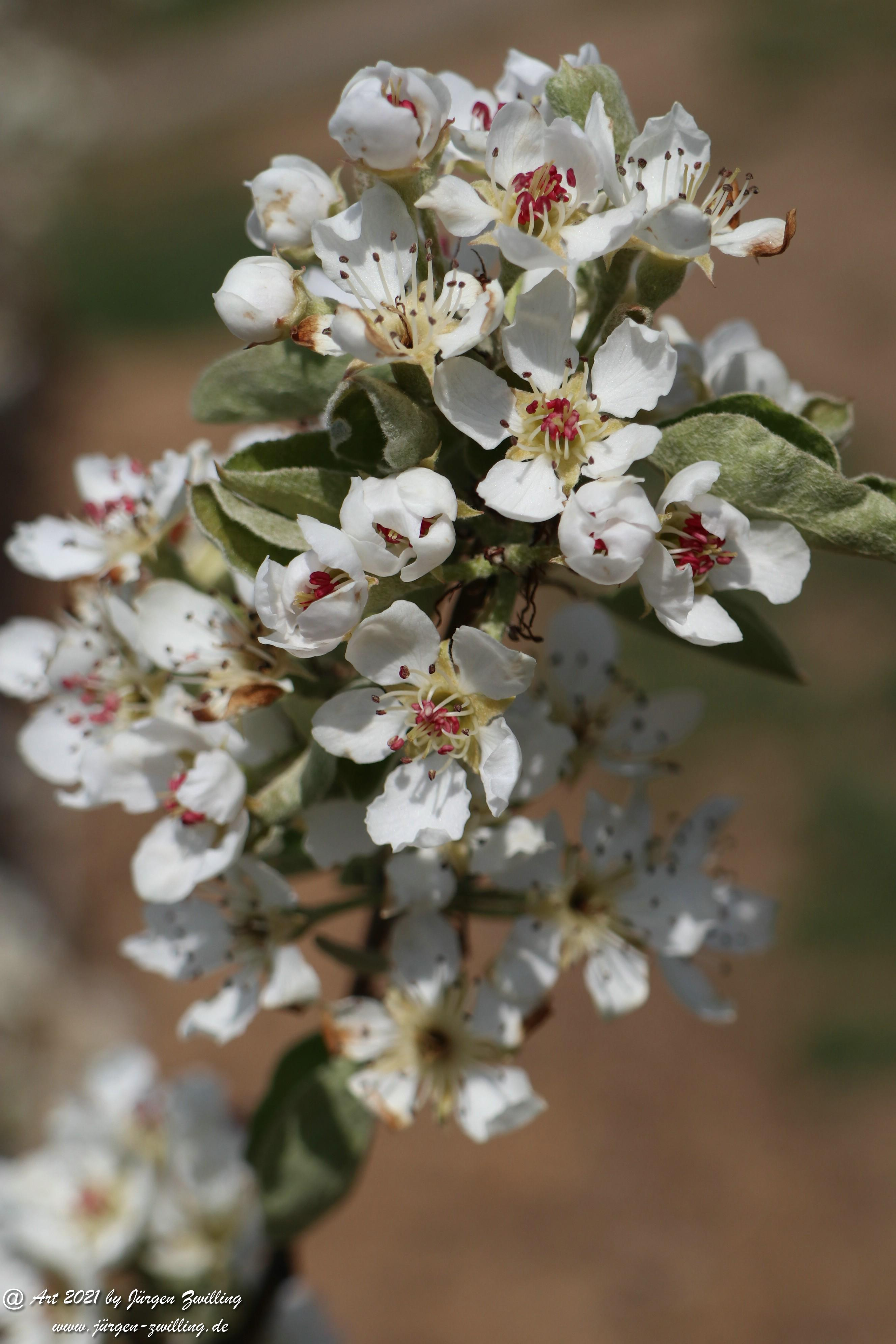 Birnbaumblüte 16