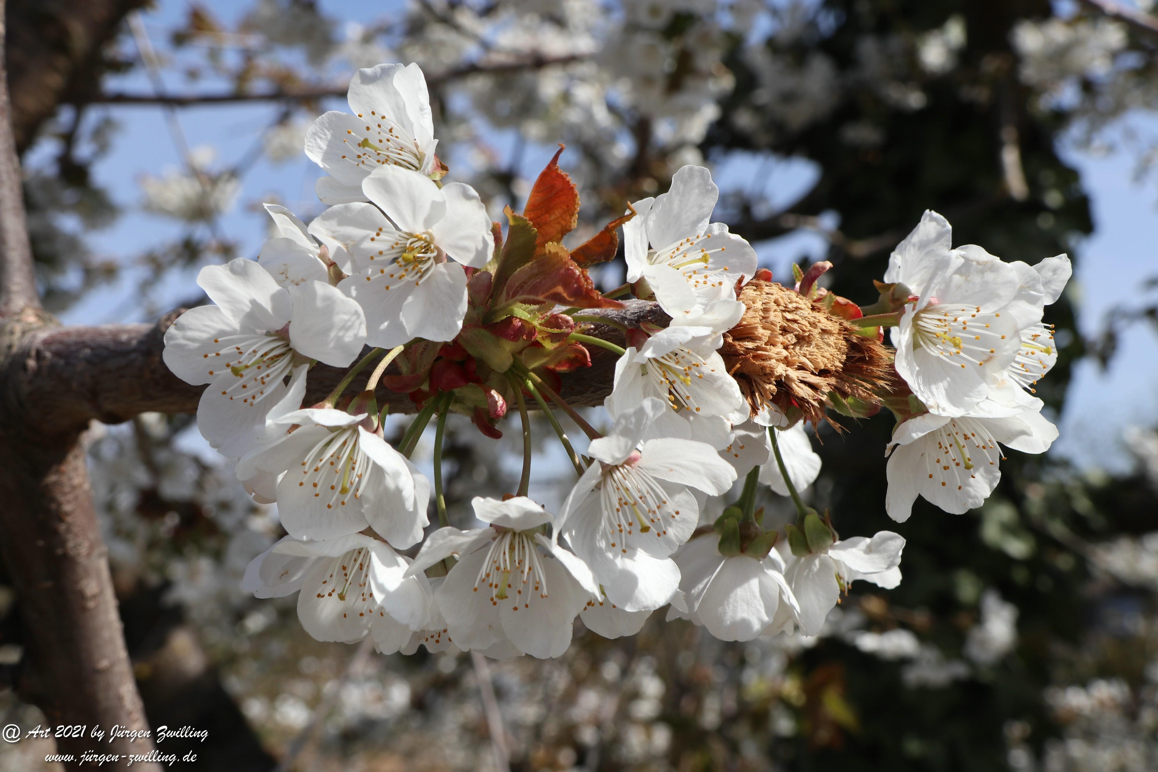 Kirschbaumblüte 2