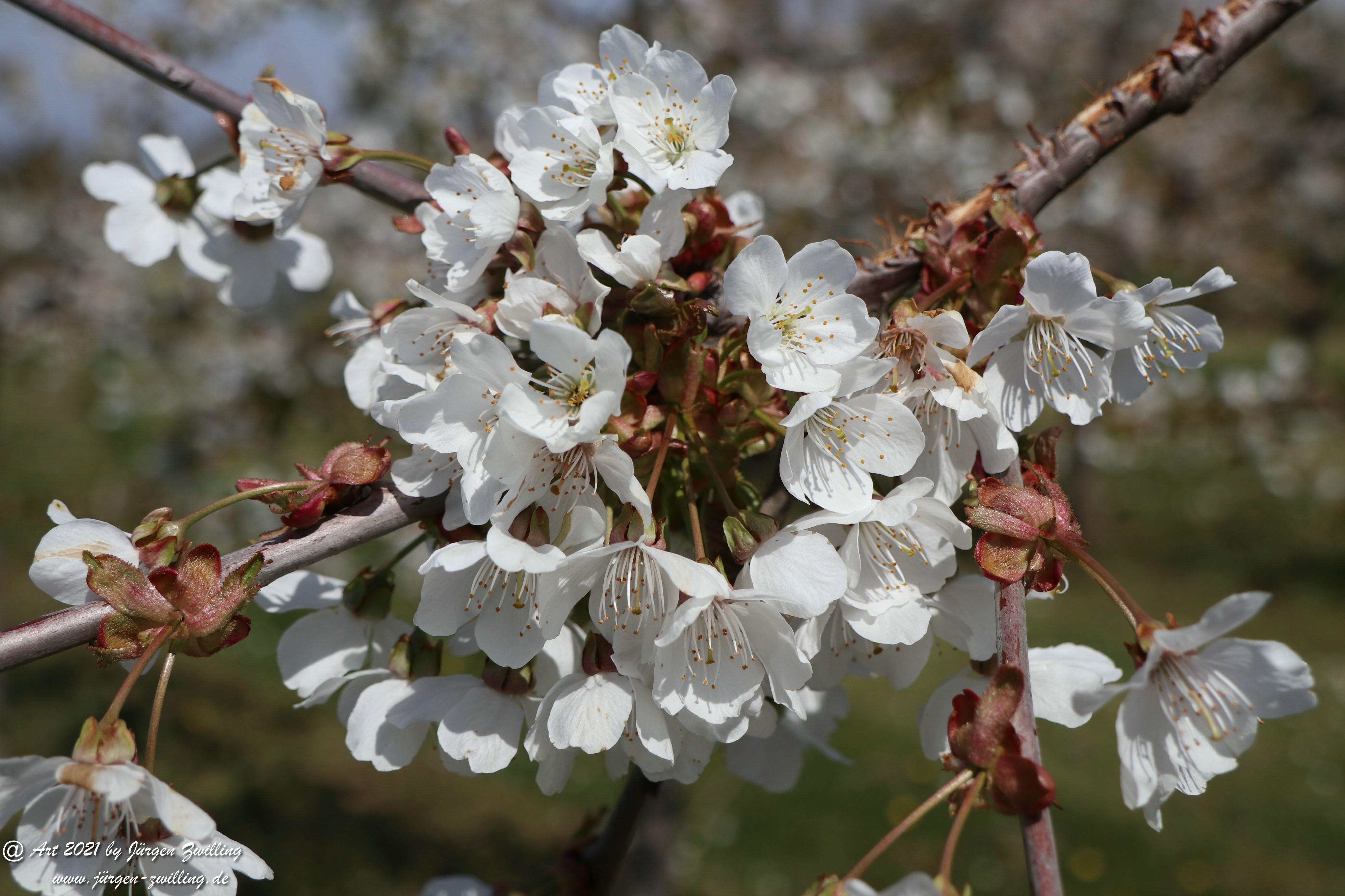 Kirschbaumblüte 9